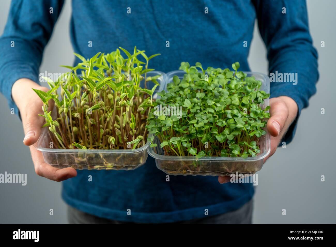 Tenez le micro-vert entre vos mains. Semis de chou, de daikon et de radis. Pousses germées. Jardinage urbain. Nourriture végétalienne biologique. Vitamines utiles. Croissance à Banque D'Images