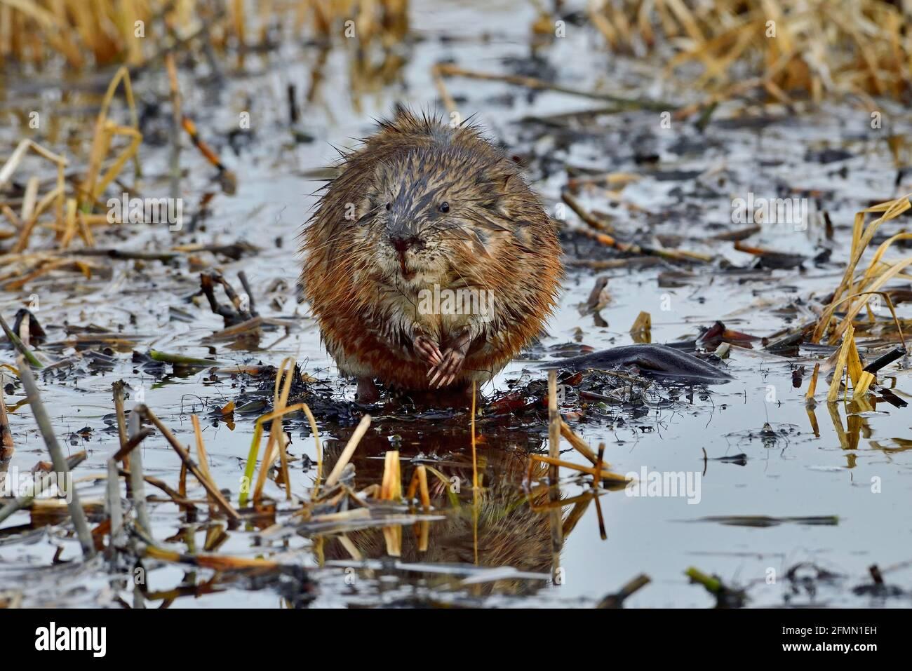 Vue de face d'un rat musqué sauvage 'Ondatra zibethicus', sur un bâton en contrebas dans un étang de castors dans les régions rurales du Canada de l'Alberta. Banque D'Images