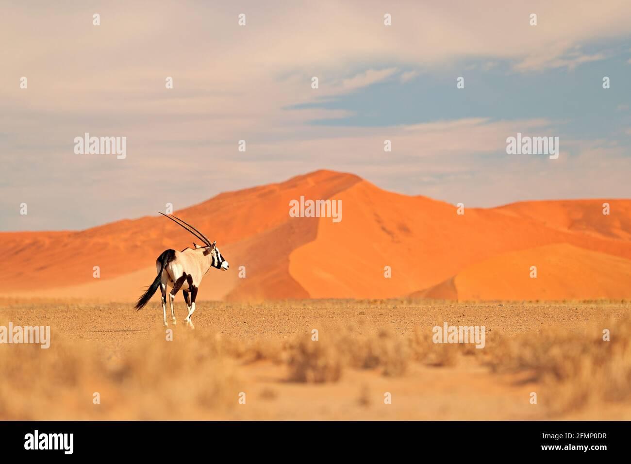Gemsbok avec une dune de sable orange coucher de soleil. Gembuck, Oryx gazella, grand antilope dans l'habitat naturel, Sossusvlei, Namibie. Animaux sauvages dans le savan Banque D'Images