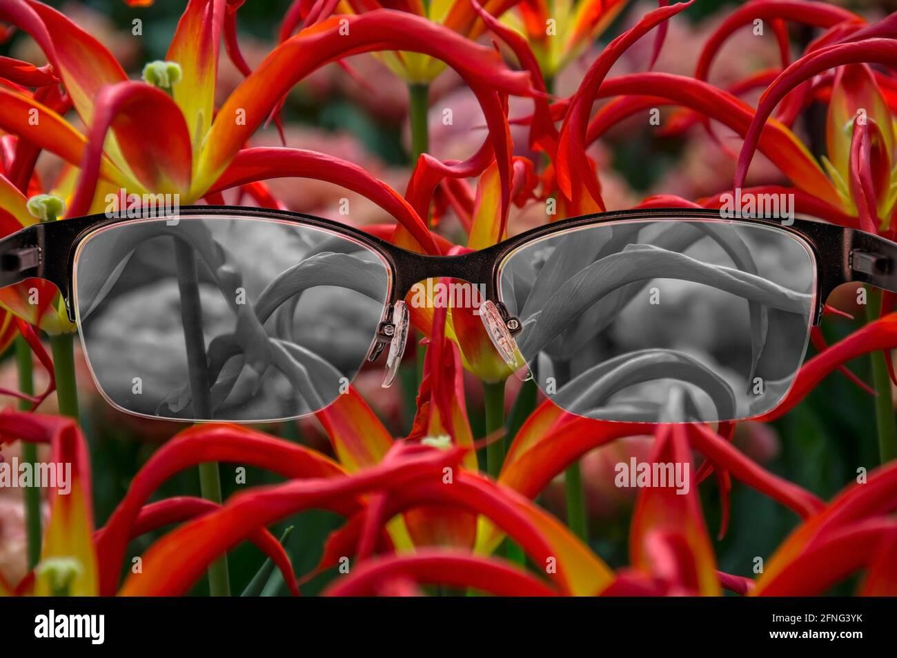 Regarder à travers des lunettes aux tulipes noires et blanches focalisées dans les lunettes pour femmes. Cécité des couleurs. Perception du monde pendant la dépression. Condition médicale. Banque D'Images