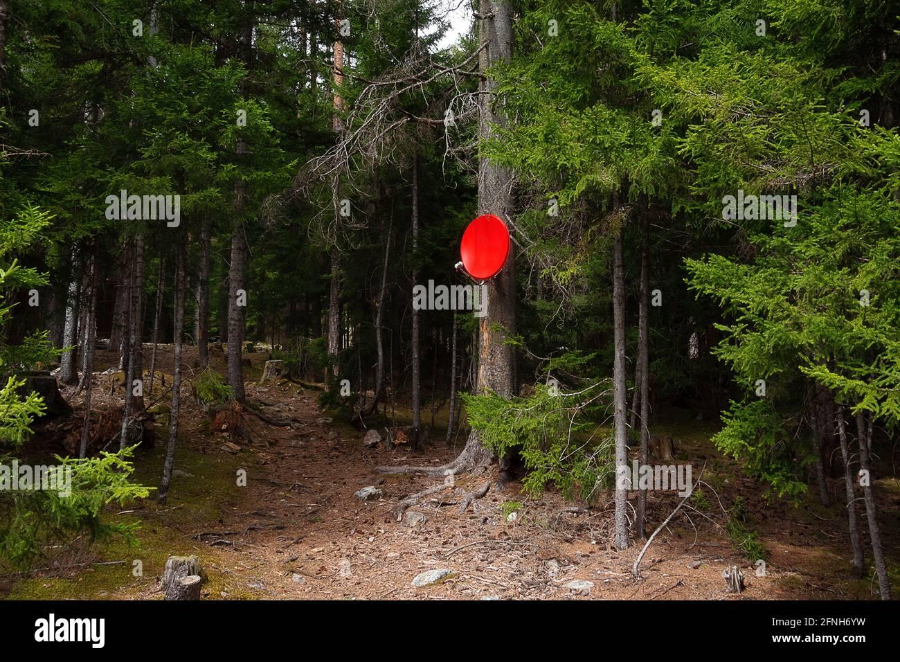accueil satellite plat rouge installé sur un arbre de conifères dans la forêt Banque D'Images