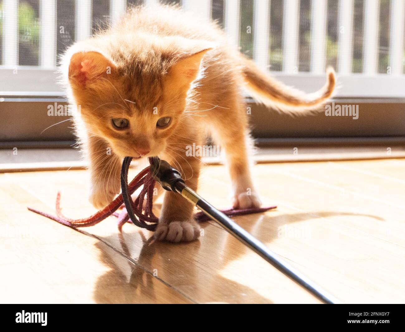 Un chaton à poil court au gingembre blanc et orange joue avec un jouet dans la lumière du soleil depuis une fenêtre Banque D'Images