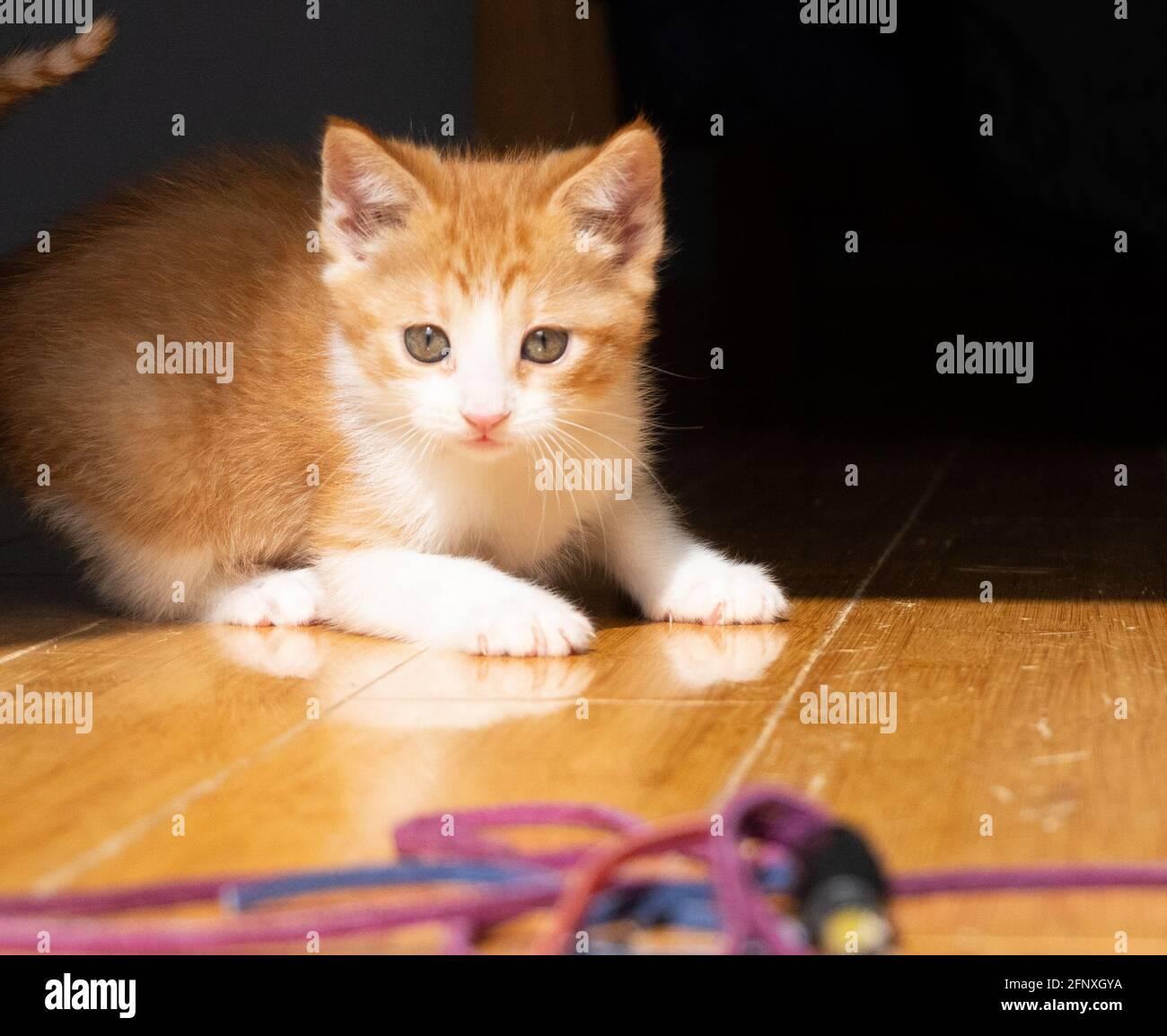 Un chaton au gingembre blanc et orange est un jouet un plancher de bois franc Banque D'Images