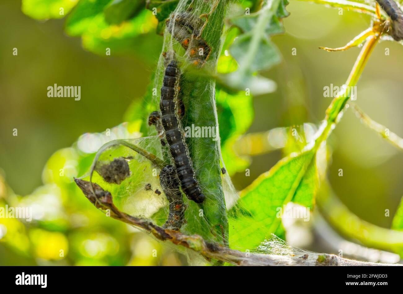 Tente chenilles insecte ravageur Banque D'Images