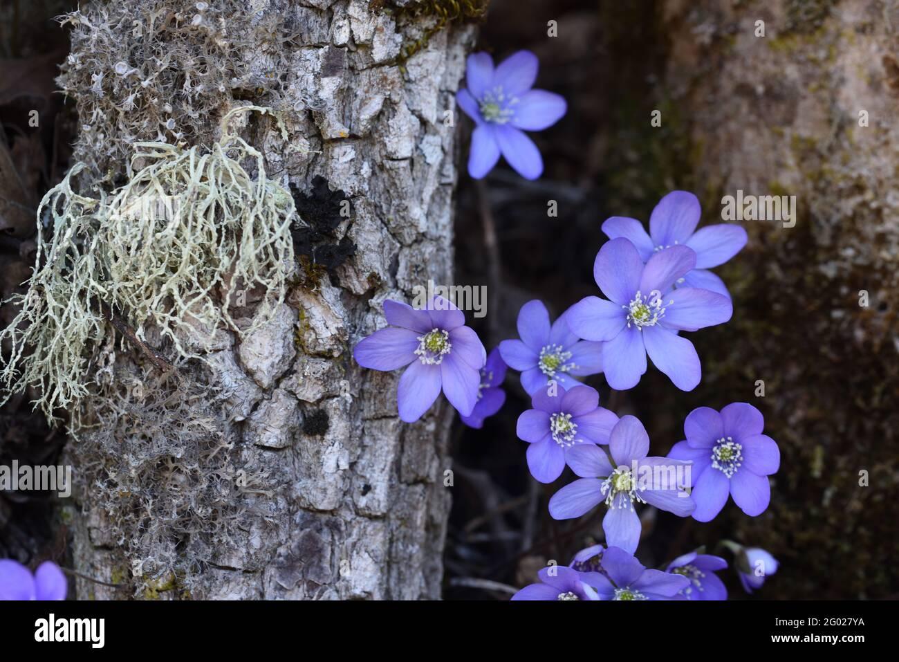 Hepatica Anemone hepatica, syn Hepatica nobilis, et Usnea espèces de Beard Lichen ou le champignon de la barbe de l'ancien homme Banque D'Images