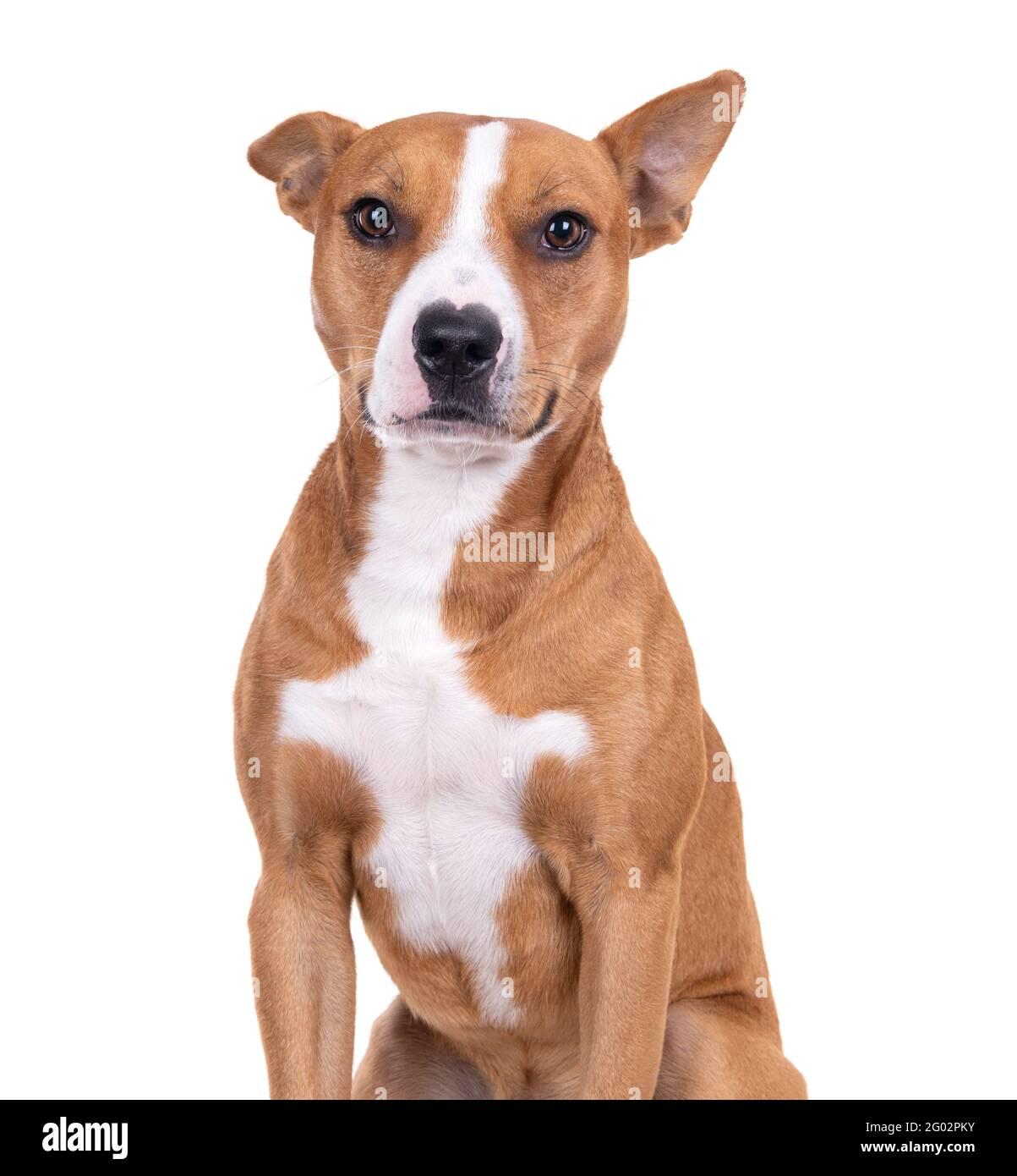 Gros plan rouge American Staffordshire terrier isolé sur fond blanc.One ear is up. Une oreille est en bas de Red American Pit Bull Terrier. Race mixte. Banque D'Images