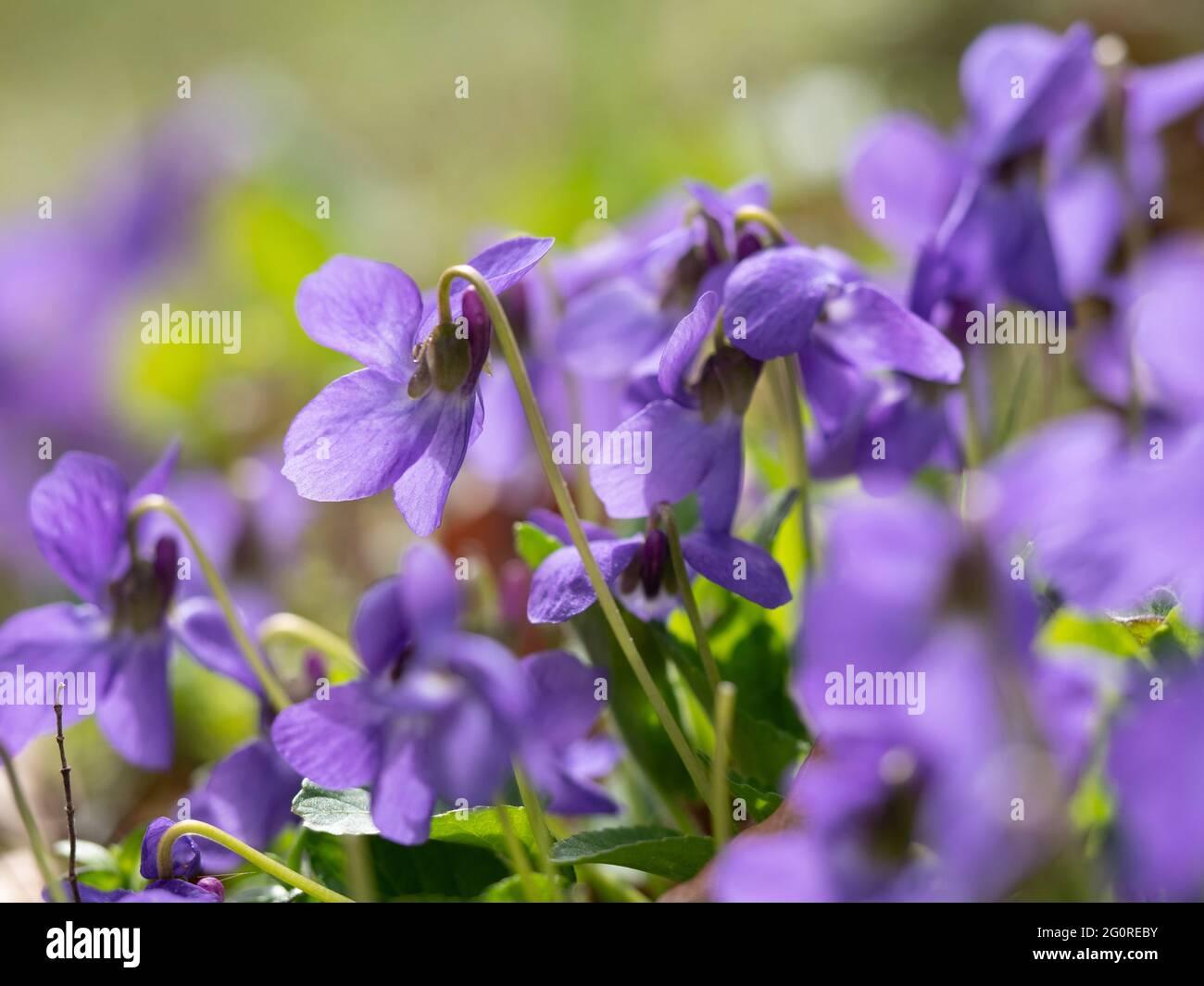 Chien commun Violet (Viola riviniana) Queensdown Warren Kent Wildlife Trust, Kent UK, tête de fleur gros plan montrant des pétales, contre-jour Banque D'Images
