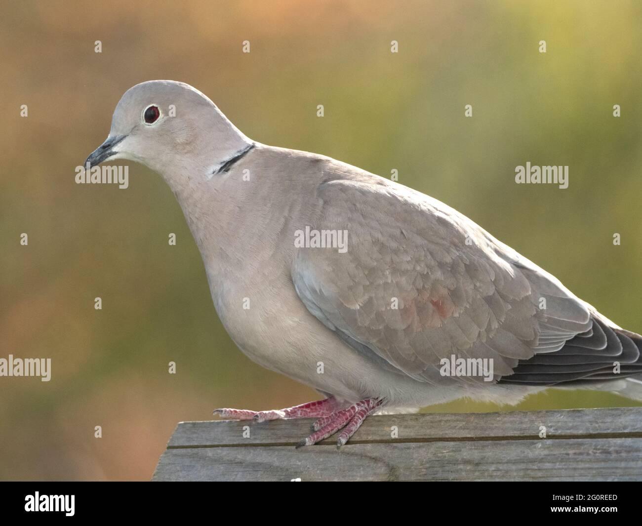 Collard Dove (Steptopelia decaocto) Ramsgate, Kent, Royaume-Uni, sur une table d'oiseau Banque D'Images
