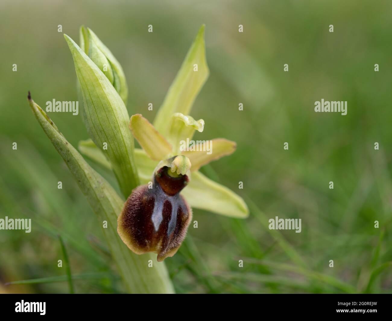 Orchid araignée précoce (Ophrys sphègodes) Samphir Hoe, Douvres, KENT Royaume-Uni, Banque D'Images