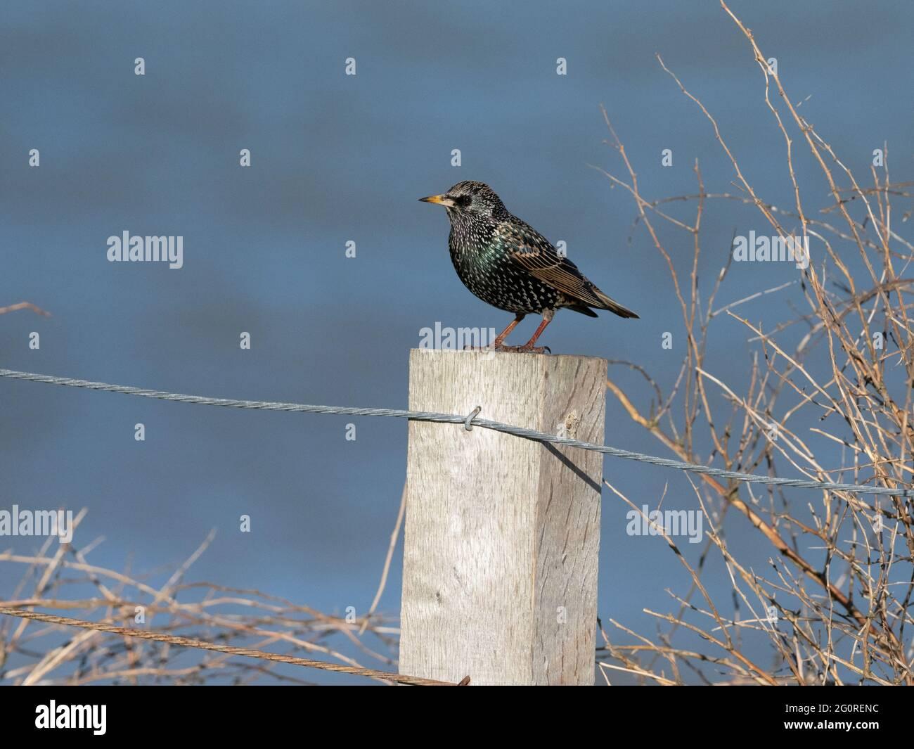 Starling commun (Sturnus vulgaris) Ramsgate, KENT, Royaume-Uni, perché tôt le matin sur la clôture Banque D'Images