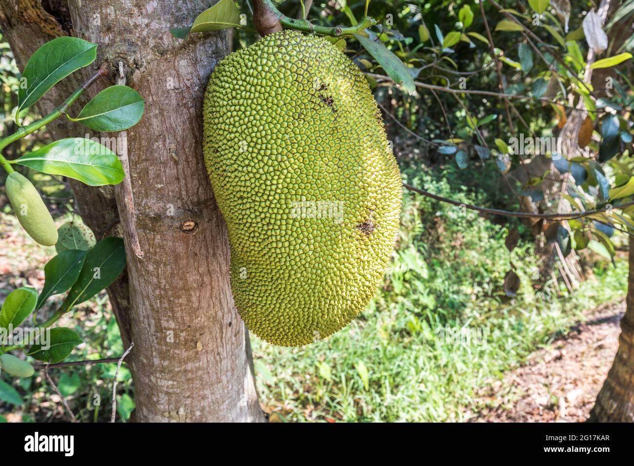 Jackfruit, Artocarpus heterophyllus, famille Moraceae, Wat Bang Kung, Thaïlande Banque D'Images