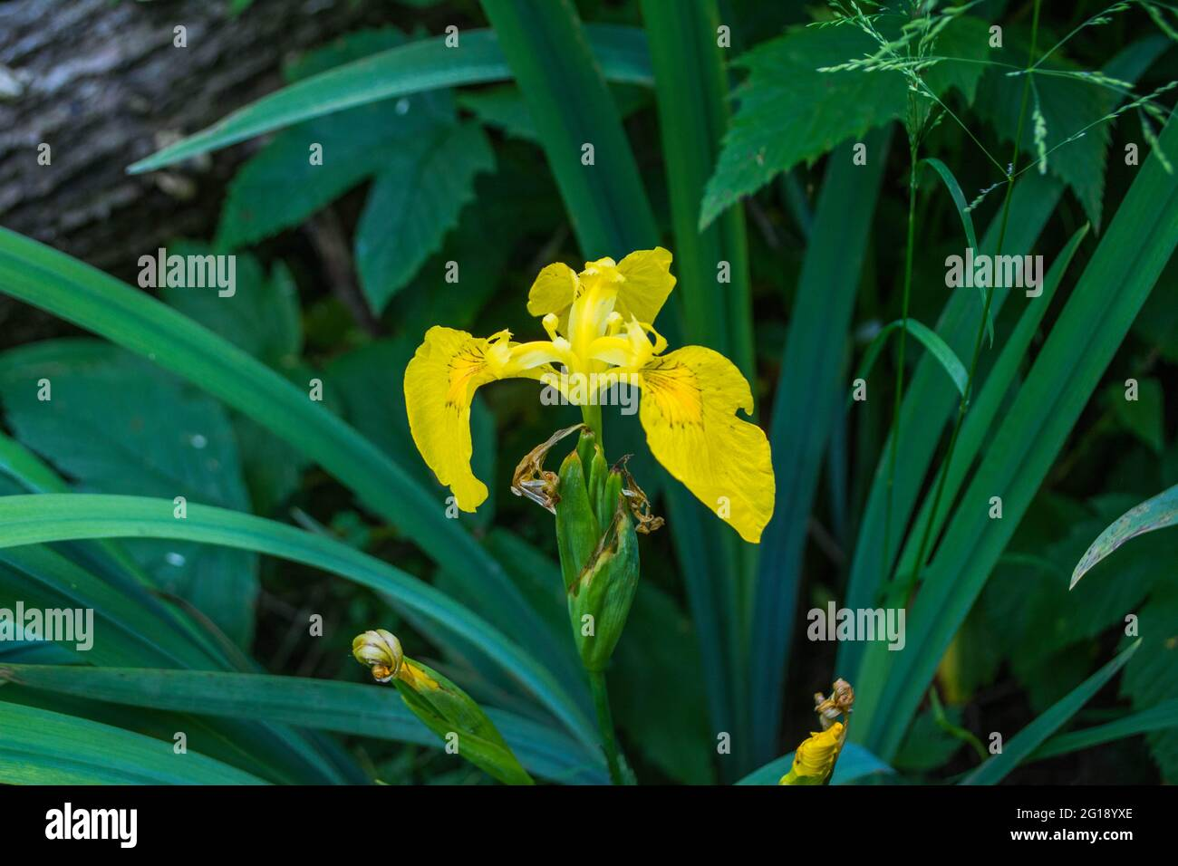 Orchidée jaune sauvage Banque D'Images