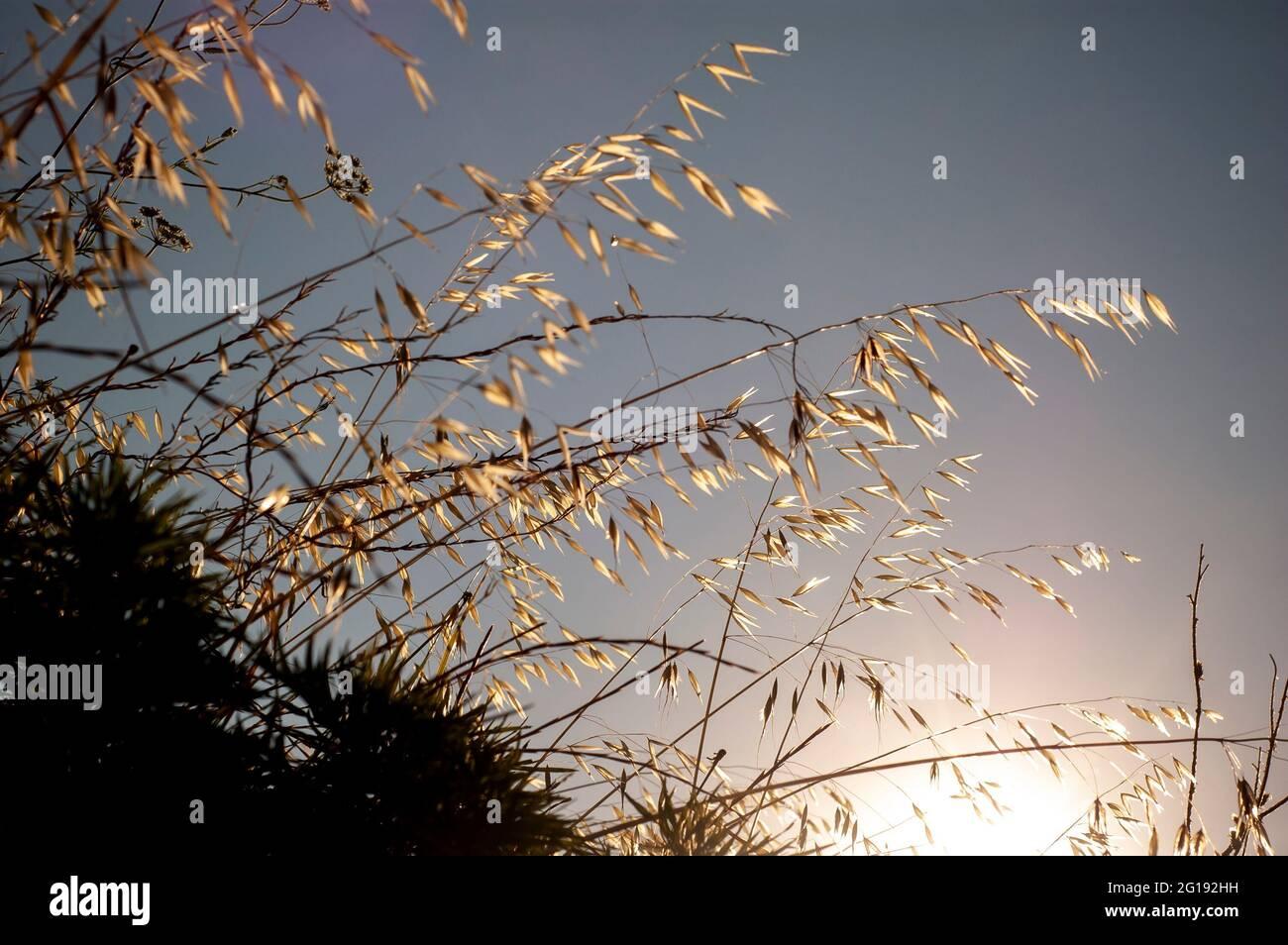 Magnifique fond d'herbe sèche et apaisante. Vue sur l'herbe sèche au lever du soleil Banque D'Images