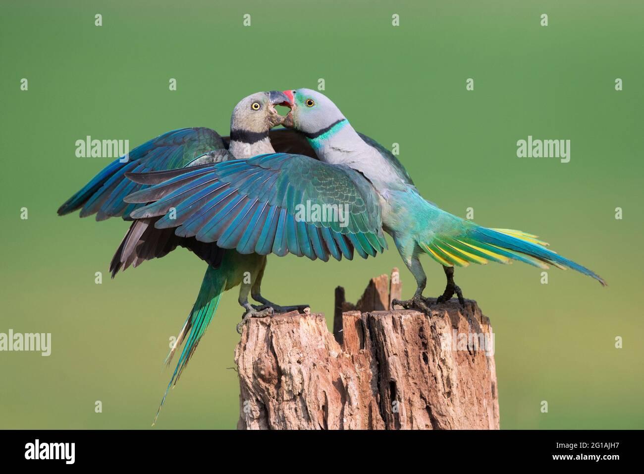 L'image de Malabar Parakeet (Psittacula columboides) à Shimoga, Karnatka, Inde, Asie Banque D'Images