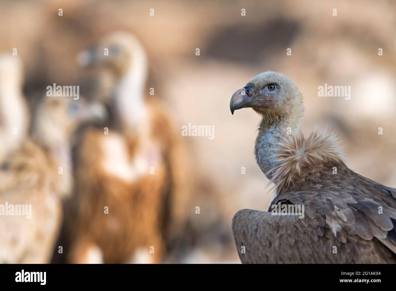 L'image de la vautour de Griffon (Gyps fulvus) a été prise au Rajasthan, en Inde, en Asie Banque D'Images