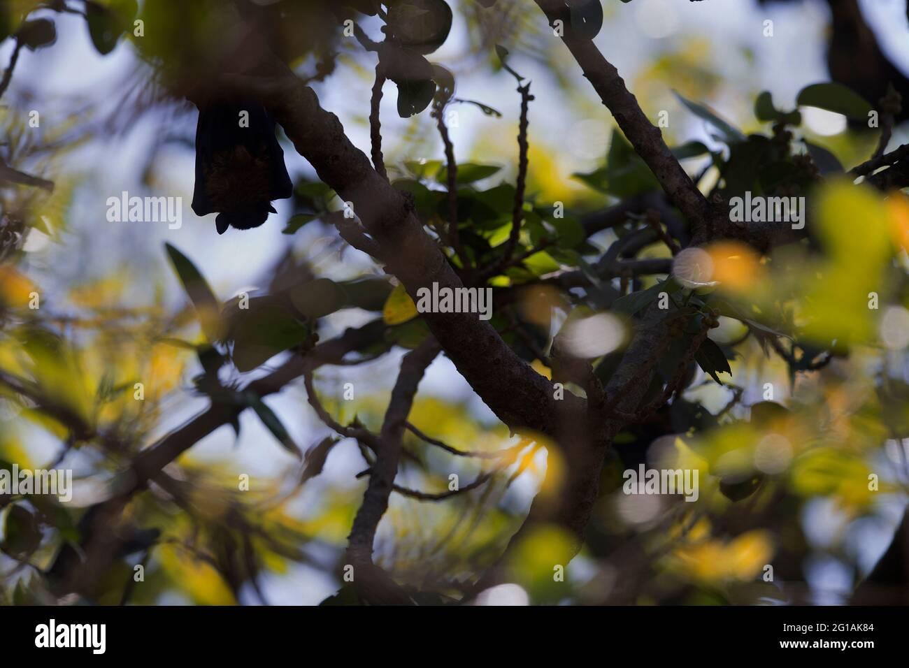 L'image du renard volant indien (Pteropus giganteus) au parc national du RIF, Gujarat, Inde, Asie Banque D'Images
