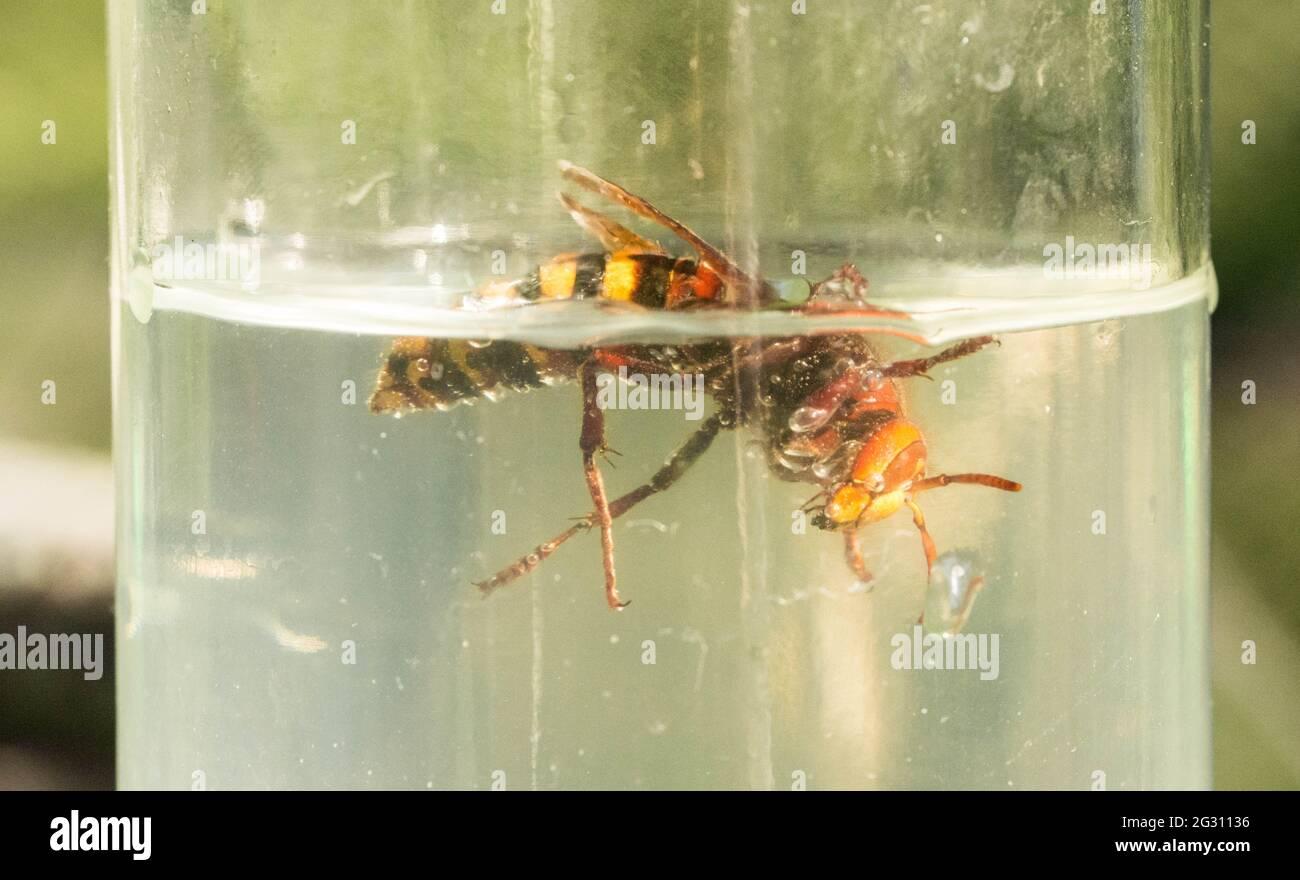 Hornet piégé dans une bouteille d'eau de sucre Banque D'Images