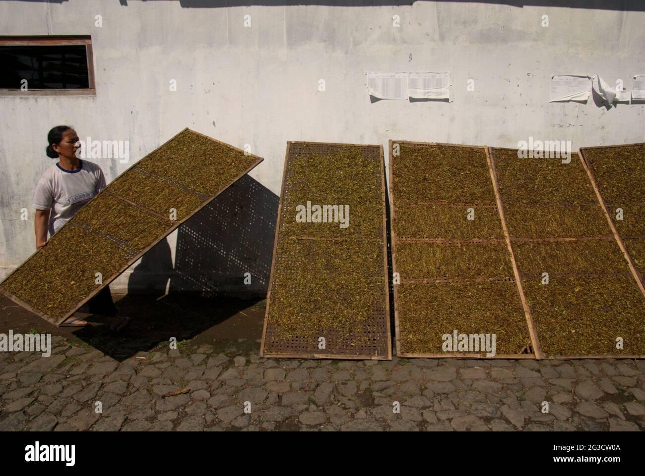 Une femme séchant du tabac sur le côté d'une route rurale dans un village producteur de tabac à Temanggung, Java central, Indonésie. « environ six millions de personnes ont eu recours au tabac pour leur subsistance », a déclaré Budidoyo, chef de l'AMTI (Alliance de la société indonésienne du tabac), cité par CNBC Indonésie le 10 juin 2021. Avec 197.25 000 tonnes métriques, l'Indonésie est classée sixième sur la liste des principaux pays producteurs de tabac en 2019, en dessous de la Chine, de l'Inde, du Brésil, du Zimbabwe et des États-Unis, Selon Statista. Banque D'Images