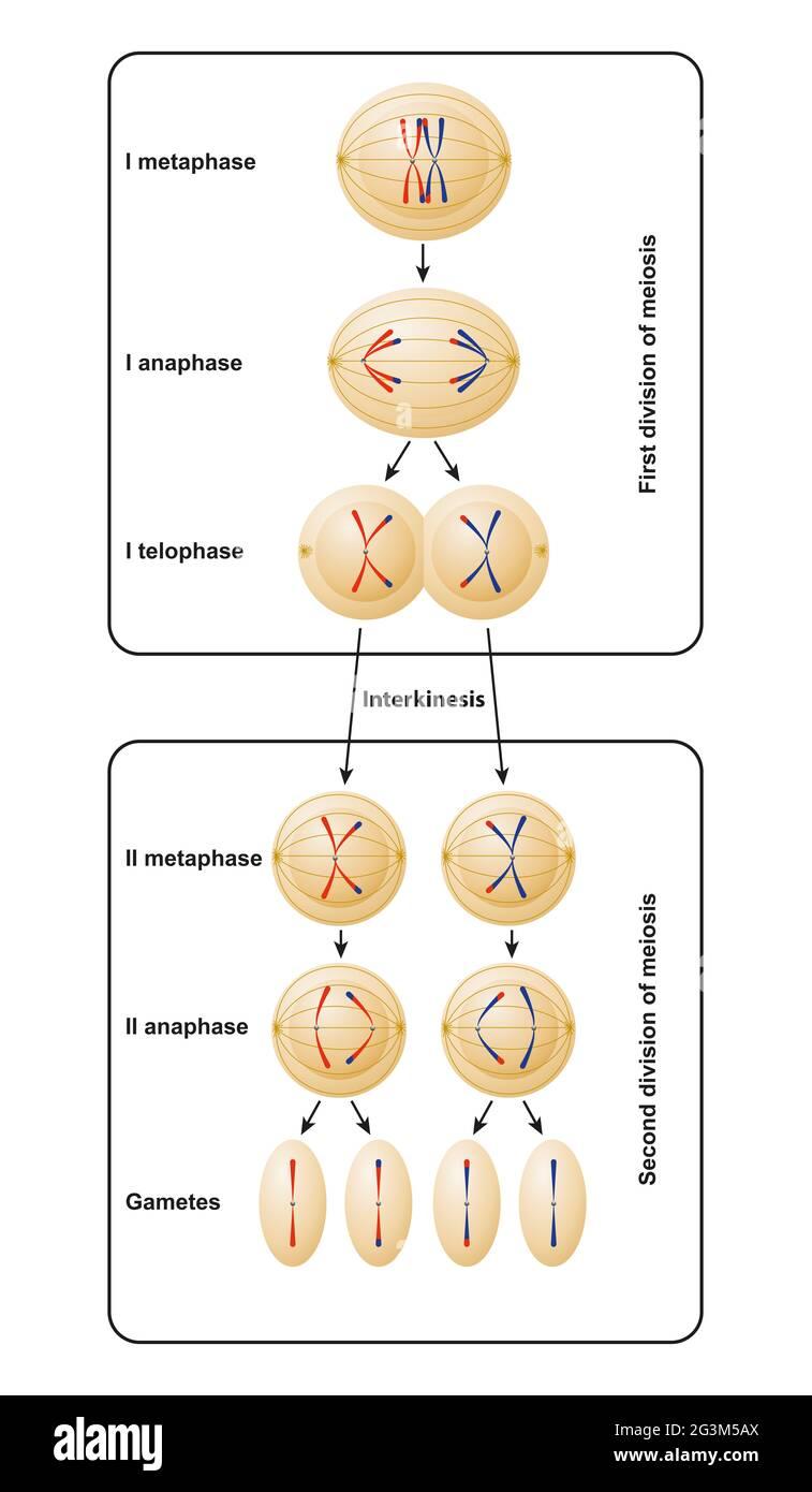 Division de la méiose. La méiose est divisée en méiose I et méiose II Banque D'Images