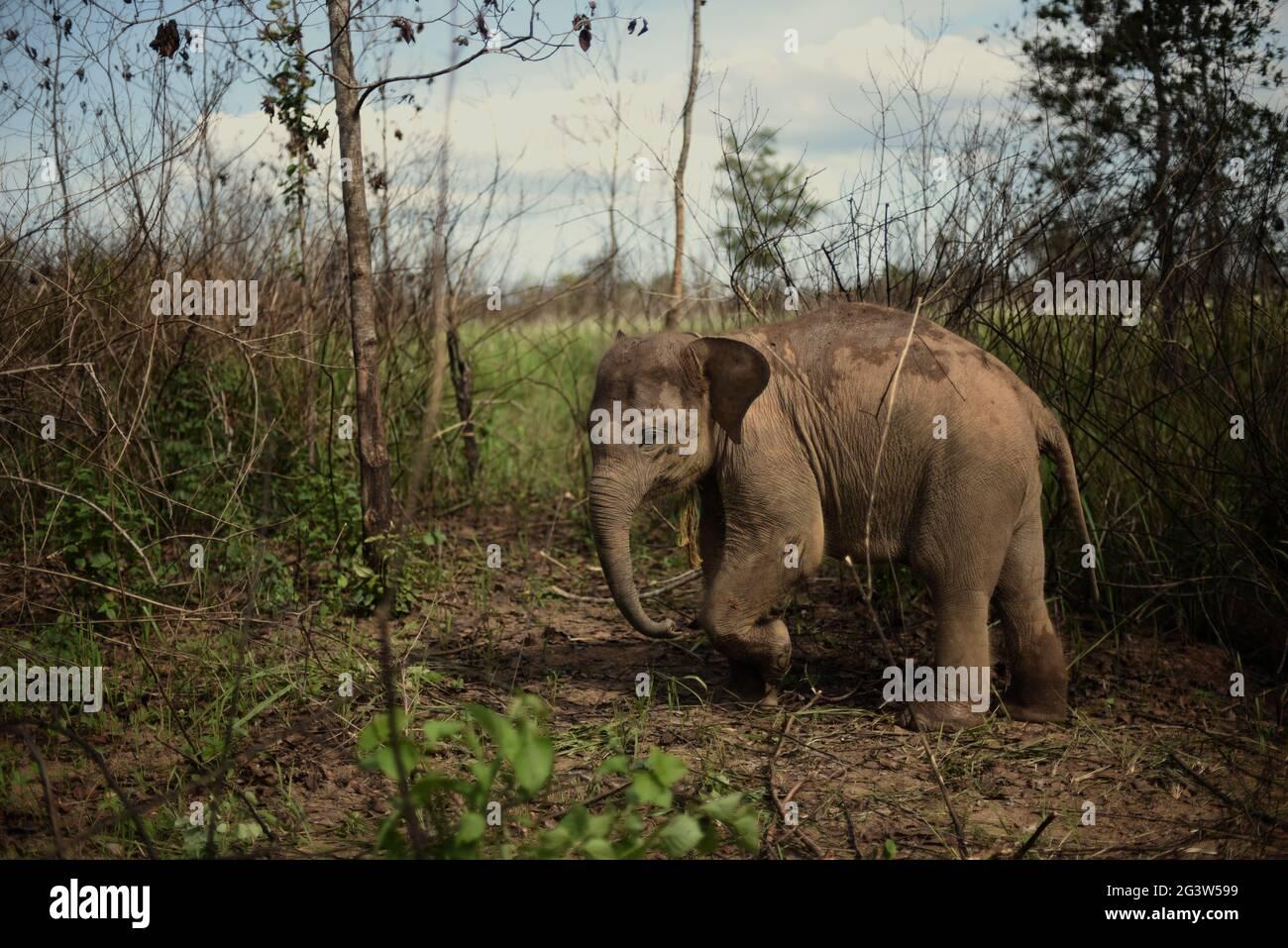 Un bébé éléphant qui est sous le soin de Rebo, un mahout, dans la voie du parc national de Kambas, en Indonésie. Banque D'Images