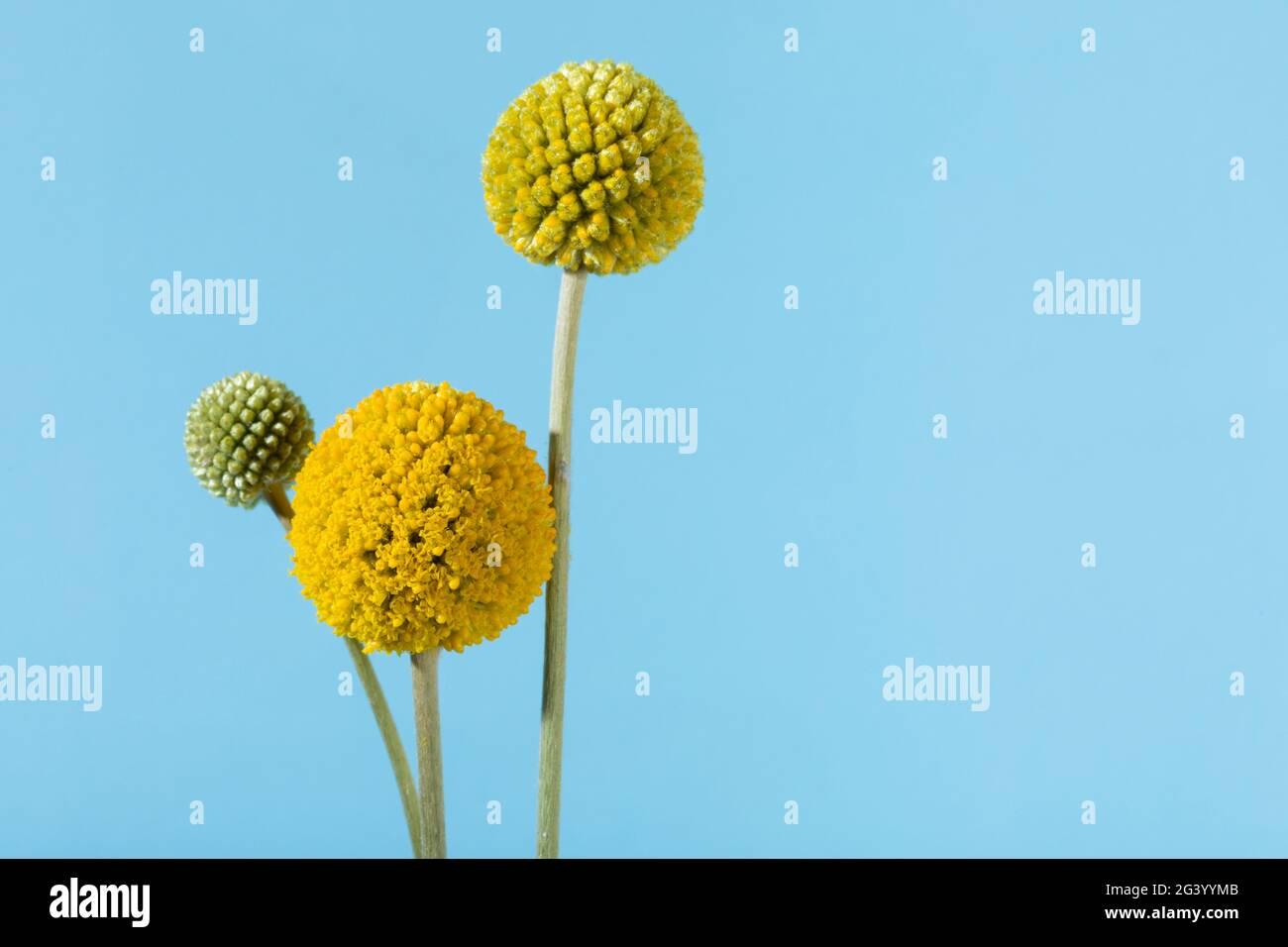 Fleurs de pilon, Craspedia globosa, avec espace de copie sur fond bleu ciel Banque D'Images