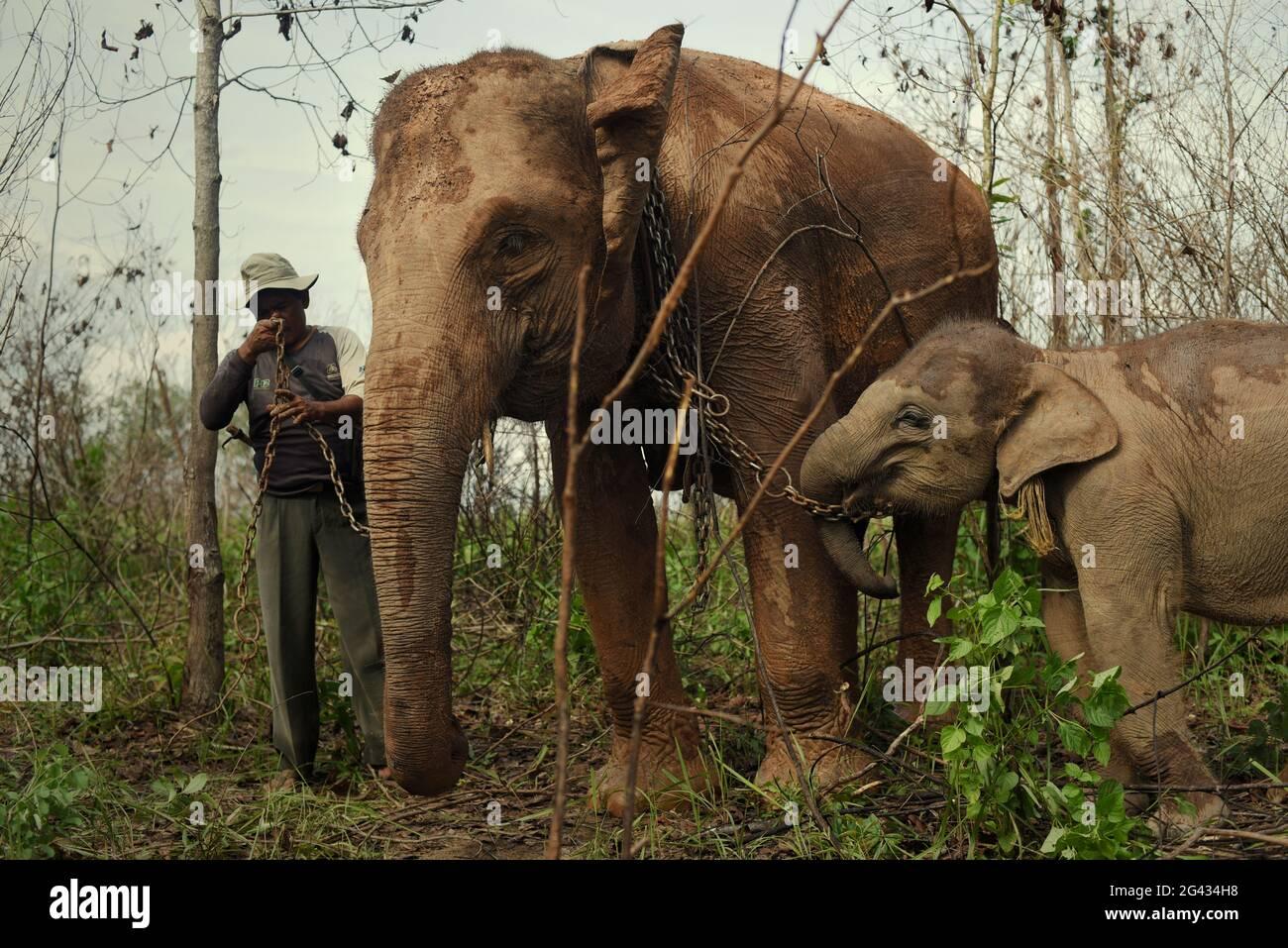 Rebo, un mahout, préparant ses éléphants pour une promenade de retour au centre des éléphants après qu'ils se nourrissent sur les buissons dans le parc national de Kambas, Indonésie. Banque D'Images