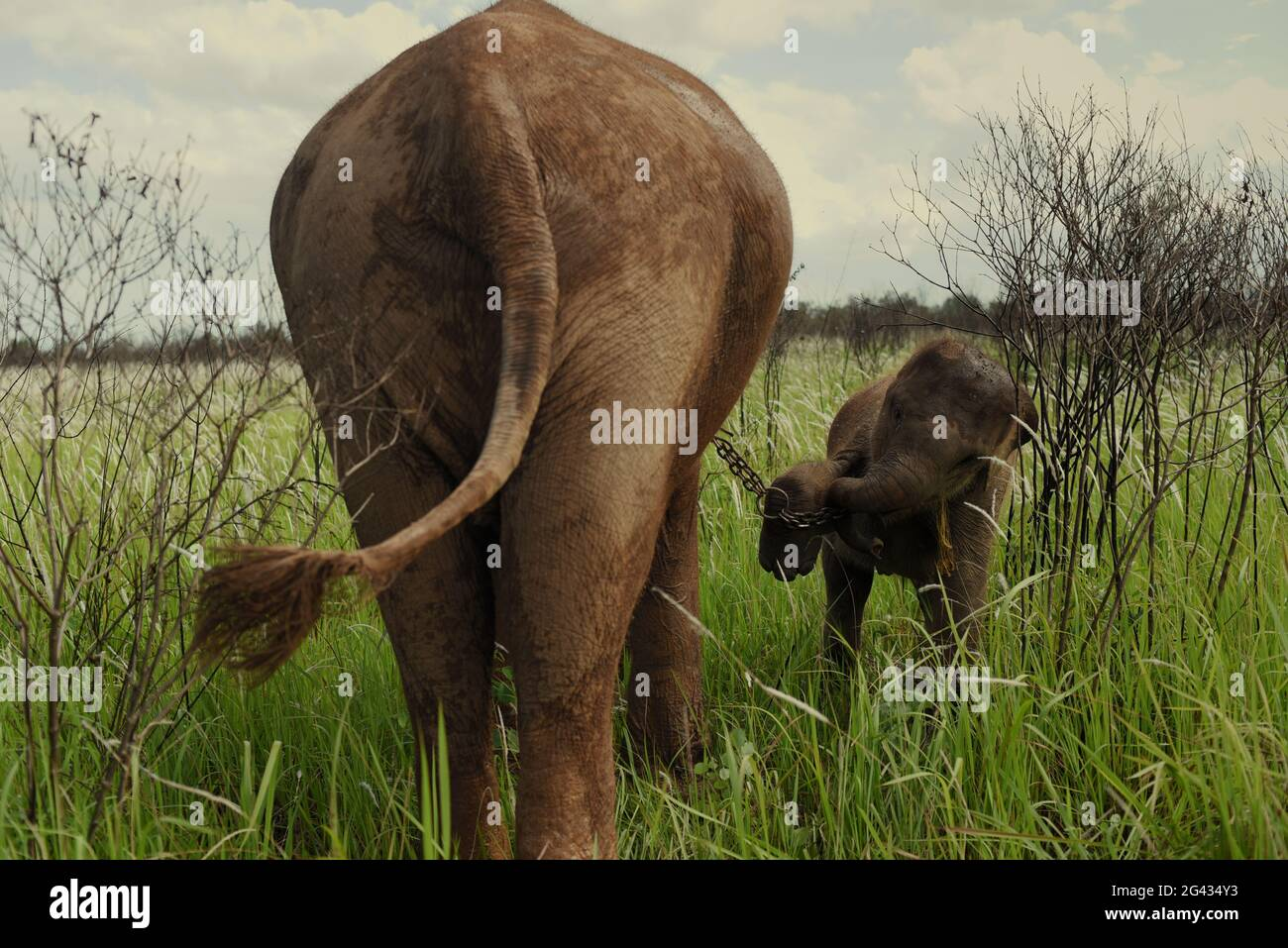 Un éléphant et un veau prêts à marcher pour retourner au centre de l'éléphant après qu'ils se nourrissent sur les buissons dans la voie du parc national de Kambas, Indonésie. Banque D'Images