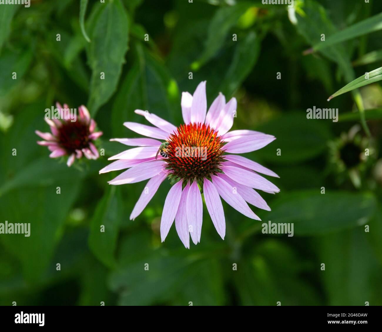 une fleur de conée pourpre a ouvert dans le jardin arrière Banque D'Images