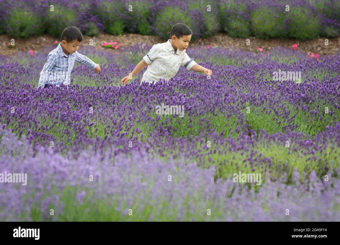 Richmond, Canada. 19 juin 2021. Les enfants jouent dans une ferme de lavande à Richmond, en Colombie-Britannique, au Canada, le 19 juin 2021. Credit: Liang Sen/Xinhua/Alay Live News Banque D'Images