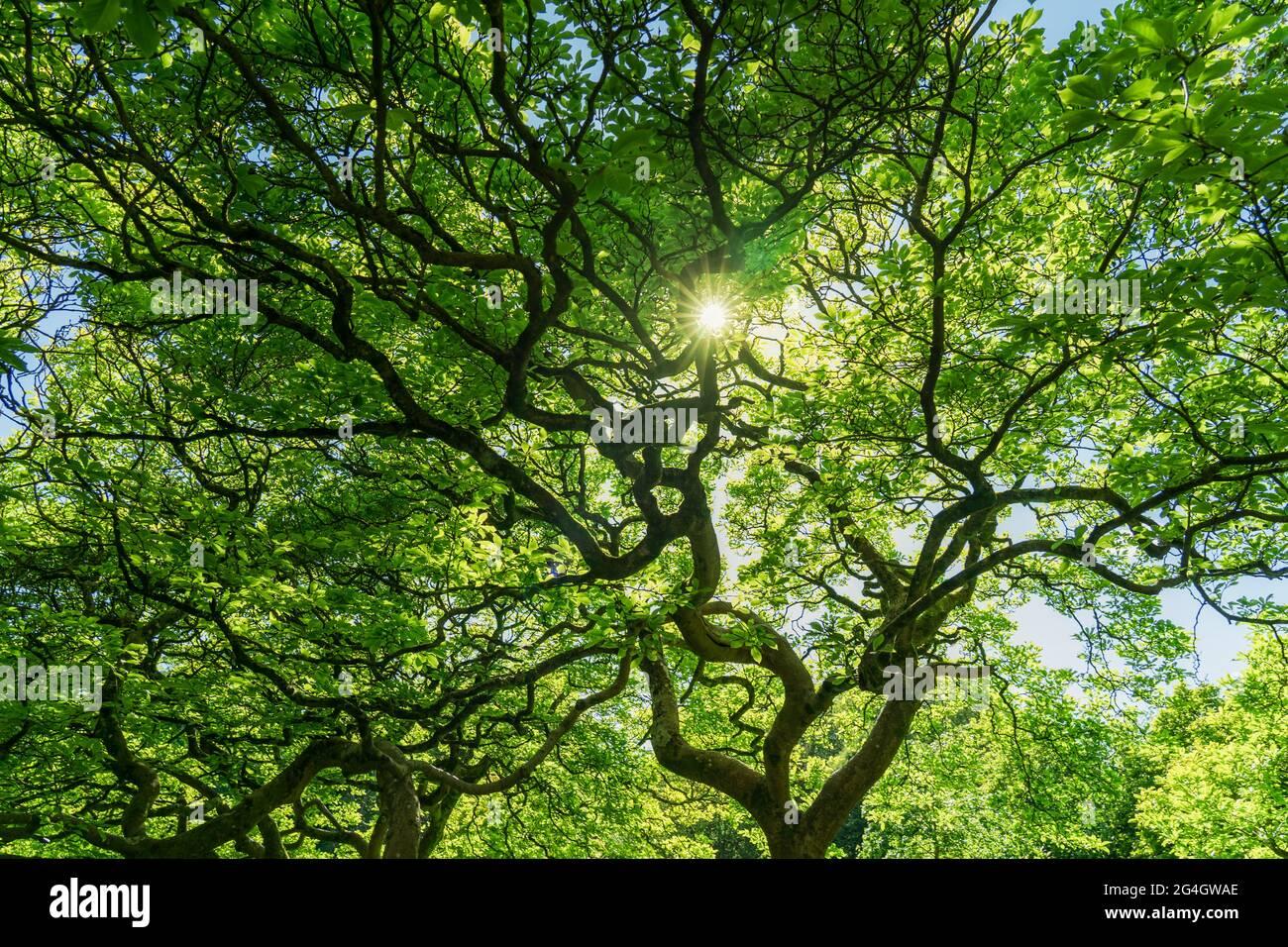 Arrière-plan d'arbre vert ramifié avec rayons du soleil. Vue de dessous. Nature bois vert lumière du soleil. Banque D'Images