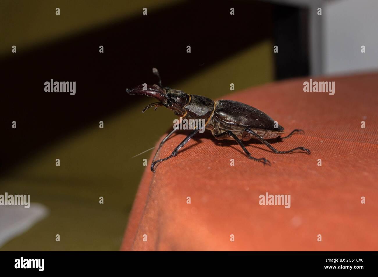 Lucanus cervus, coléoptère européen du cerf, espèce protégée, insecte a volé dans la maison Banque D'Images