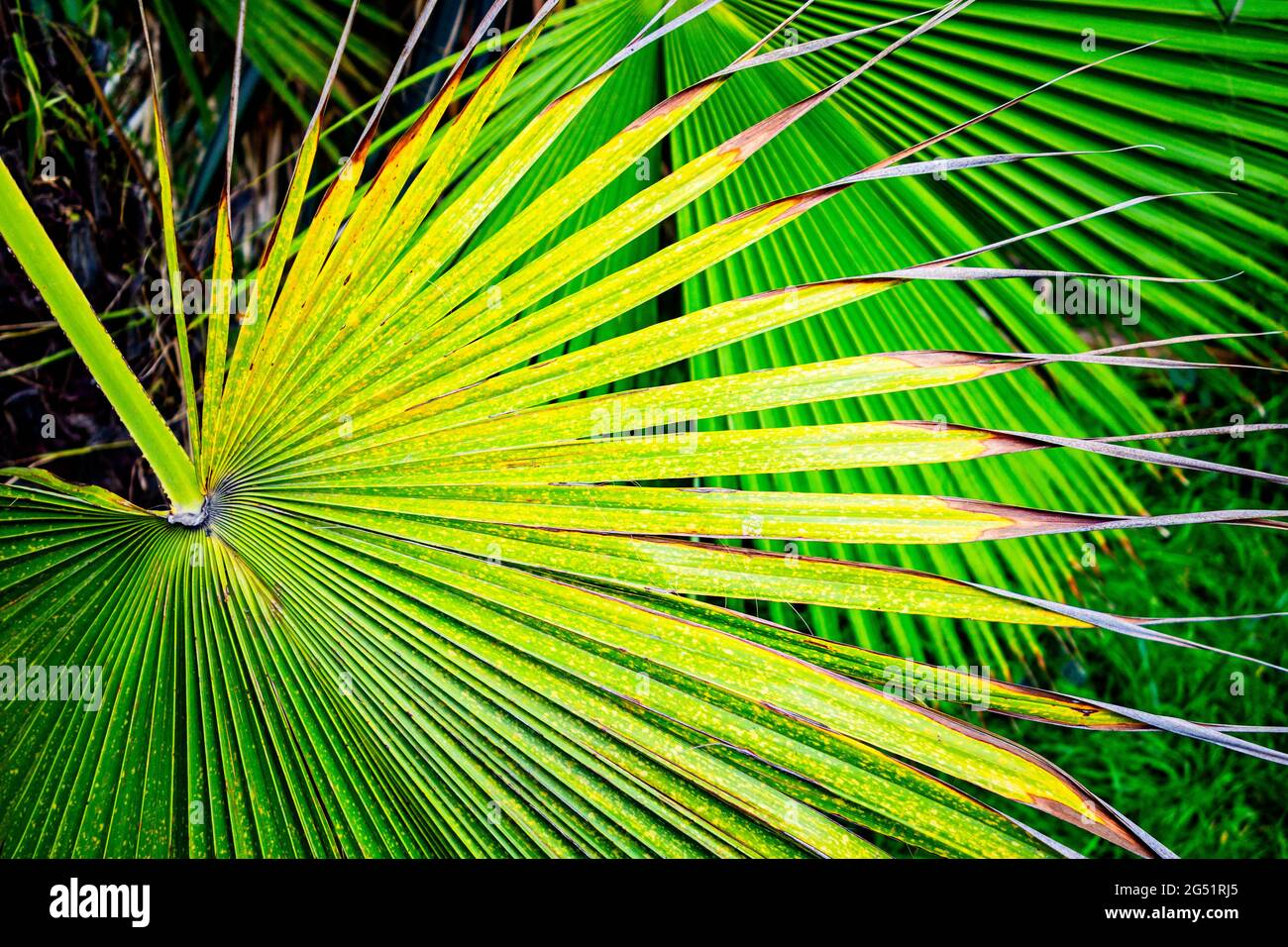 Close-up de green palm leaf Banque D'Images