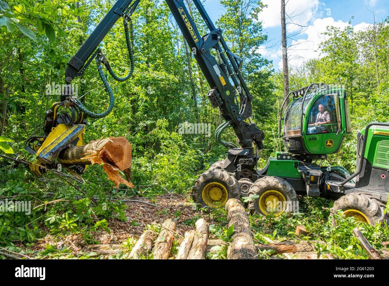 France, Val d'Oise, Forêt de Montmorency, châtaigniers abattant des châtaignes morts de la maladie de l'encre Banque D'Images