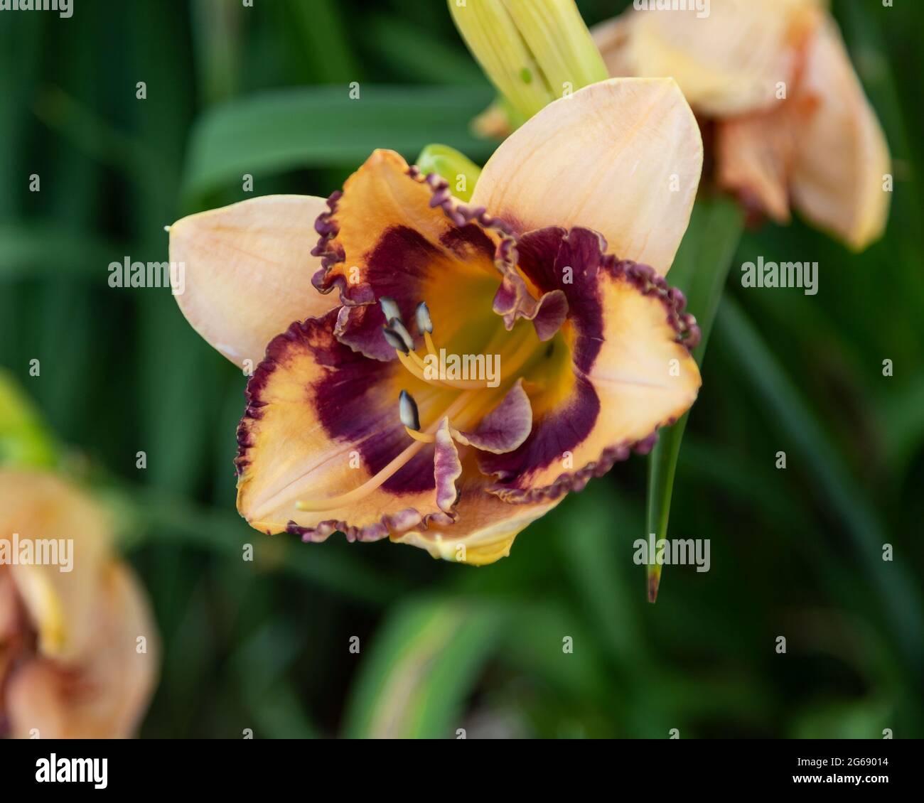 un nénuphar d'orange pâle dans le jardin nord le matin Banque D'Images