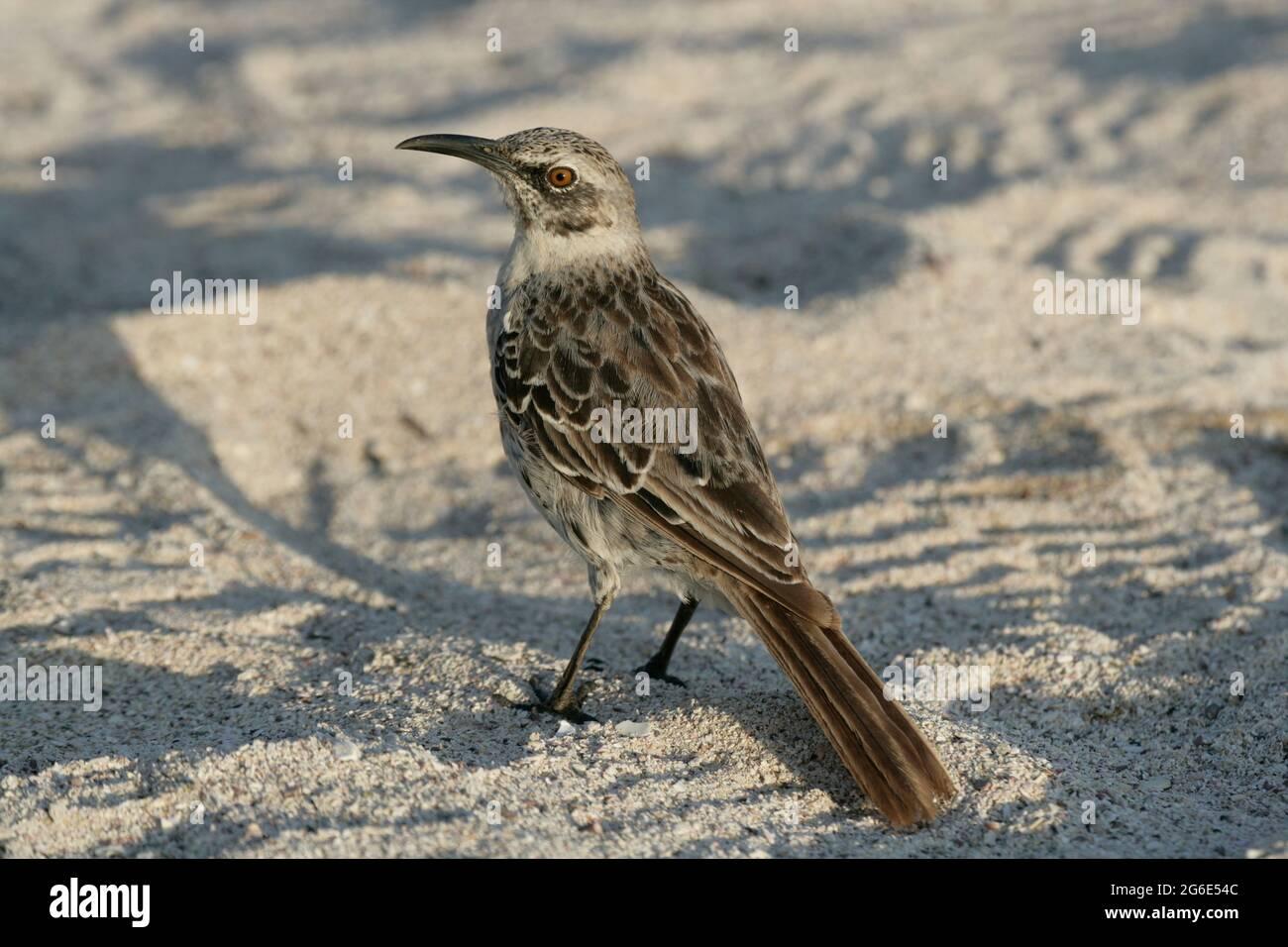Galapagos Mockingbird, Mimus parvulus, Equateur, Amérique du Sud Banque D'Images