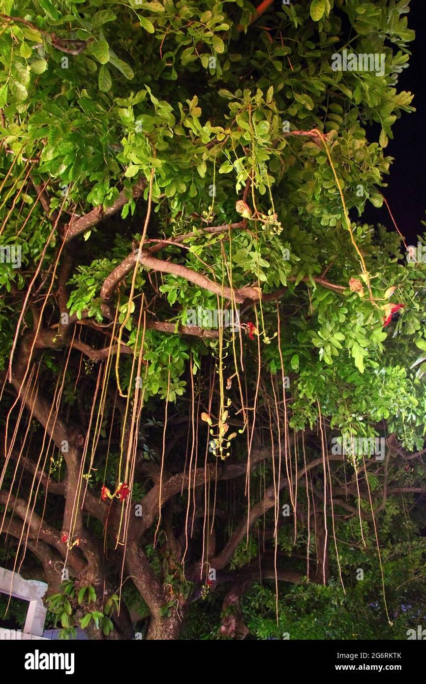 Gros plan de la plante tropicale Banque D'Images