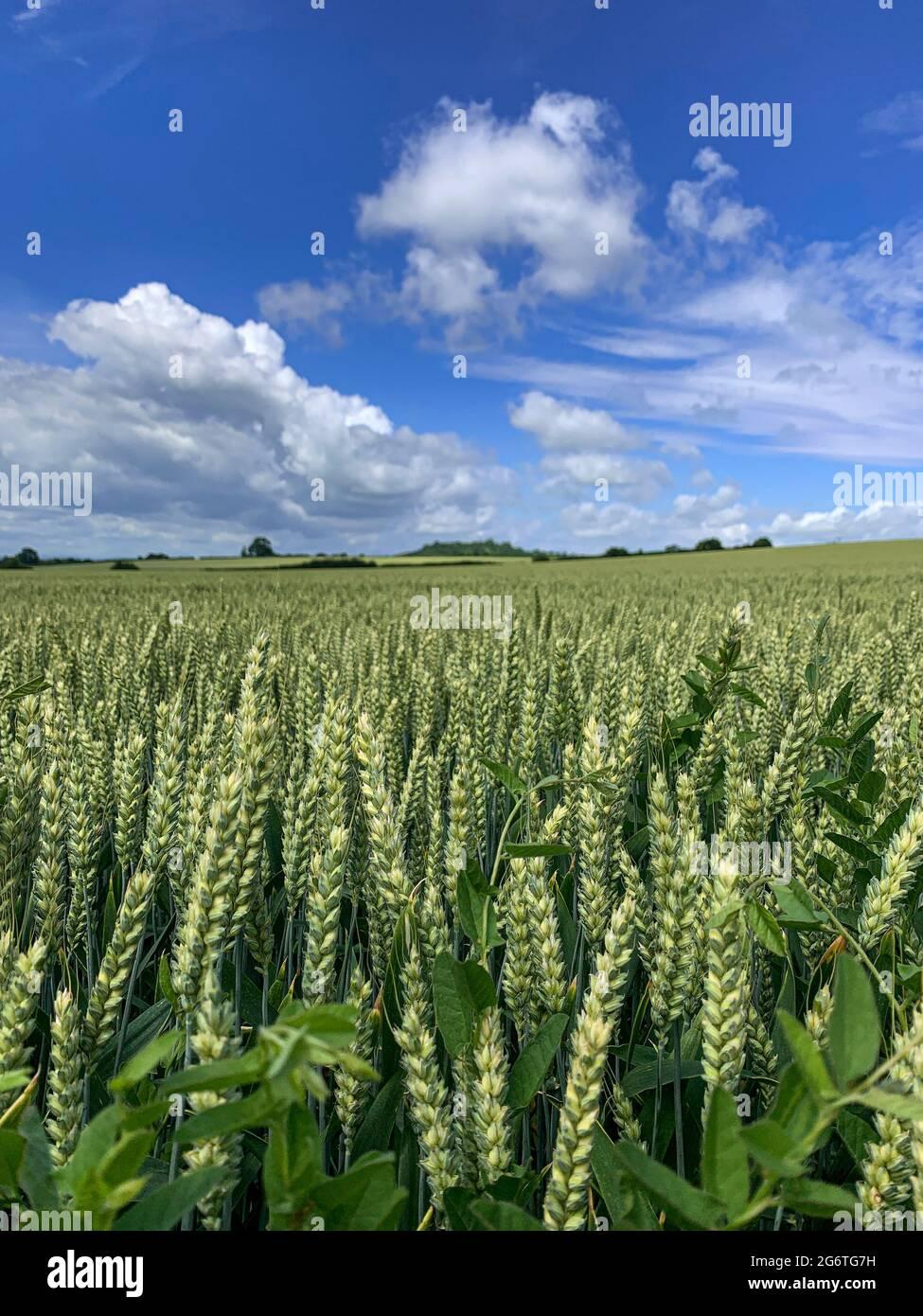 Culture luxuriante de blé vert dans le champ de Somerset, Angleterre, Royaume-Uni Banque D'Images