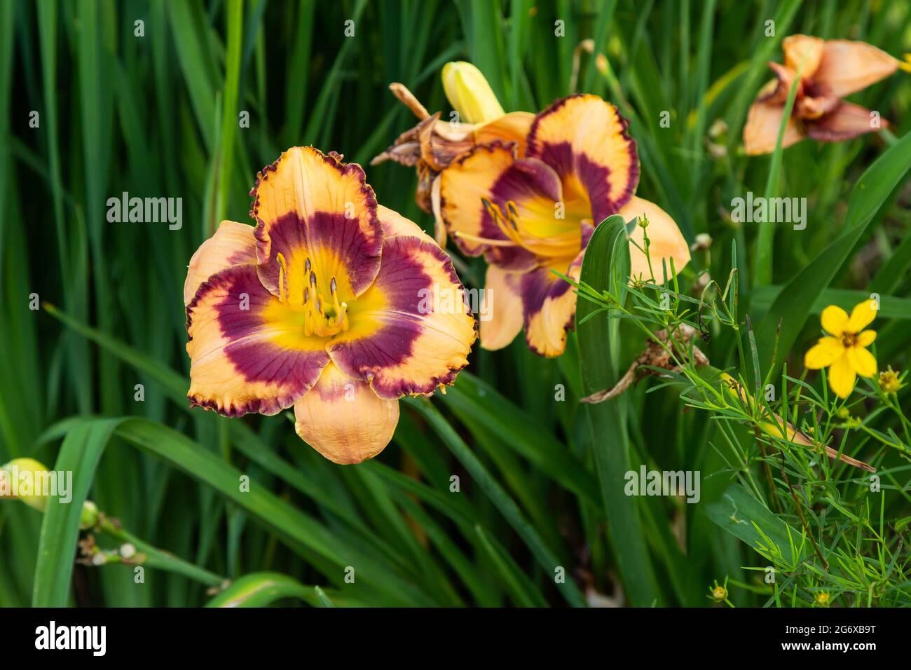 un lys orange pâle dans le jardin nord le matin Banque D'Images