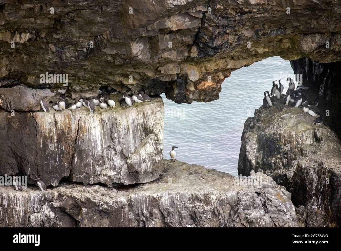 Guillemots communs Uria aalge sur des crêtes sur des falaises marines près de Bosherton, chemin de la côte de Pembroke, pays de Galles, Royaume-Uni Banque D'Images