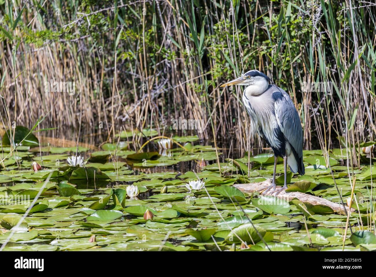 Heron gris, Ardea cinerea, étangs de Bosherton lilly, Pembrokeshire, pays de Galles, ROYAUME-UNI Banque D'Images