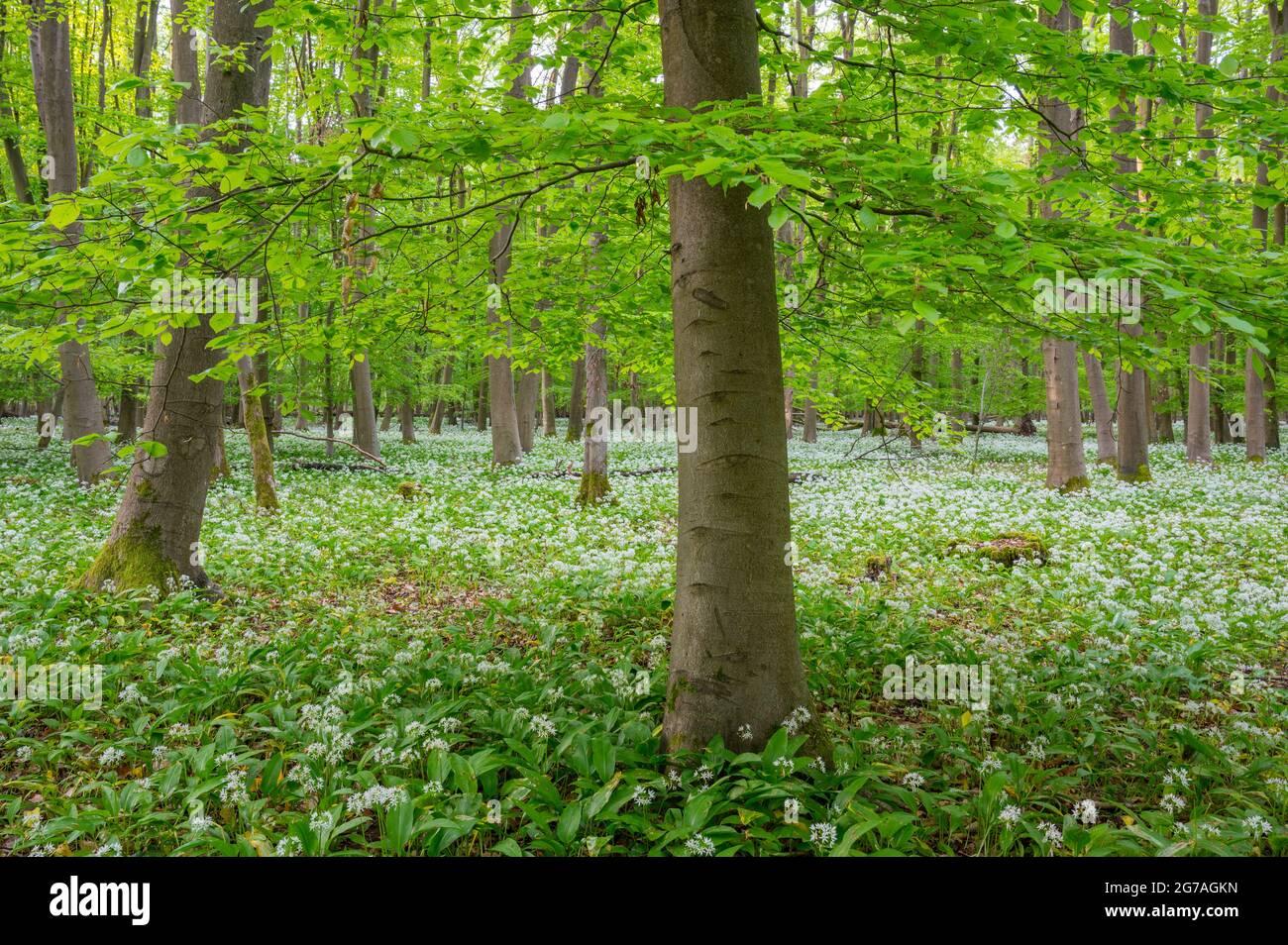 Ail sauvage dans la forêt de hêtres, printemps, mai, Hesse, Allemagne Banque D'Images