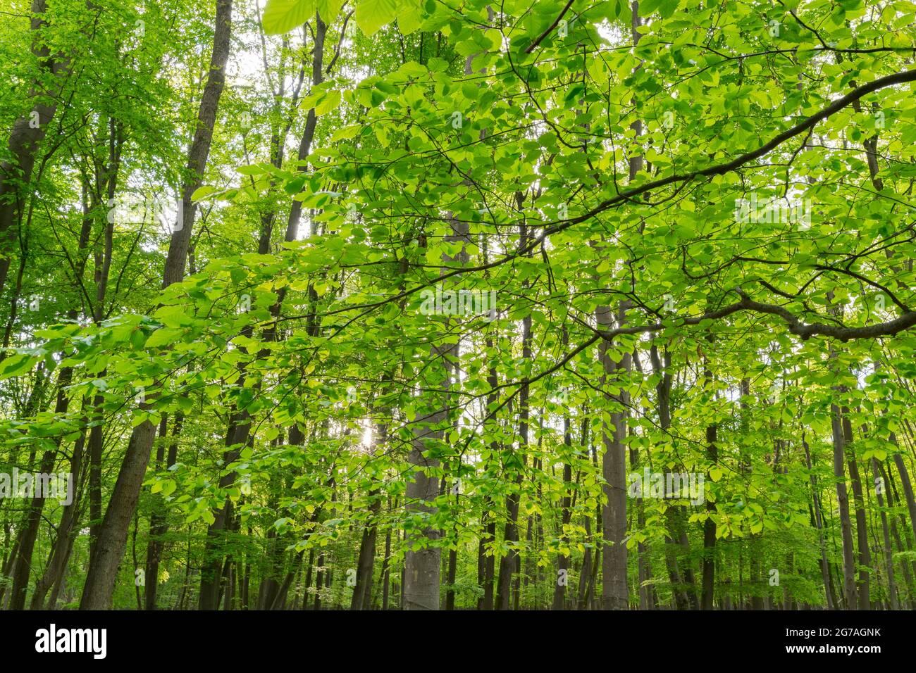 Forêt de hêtre au printemps, mai, Hesse, Allemagne Banque D'Images