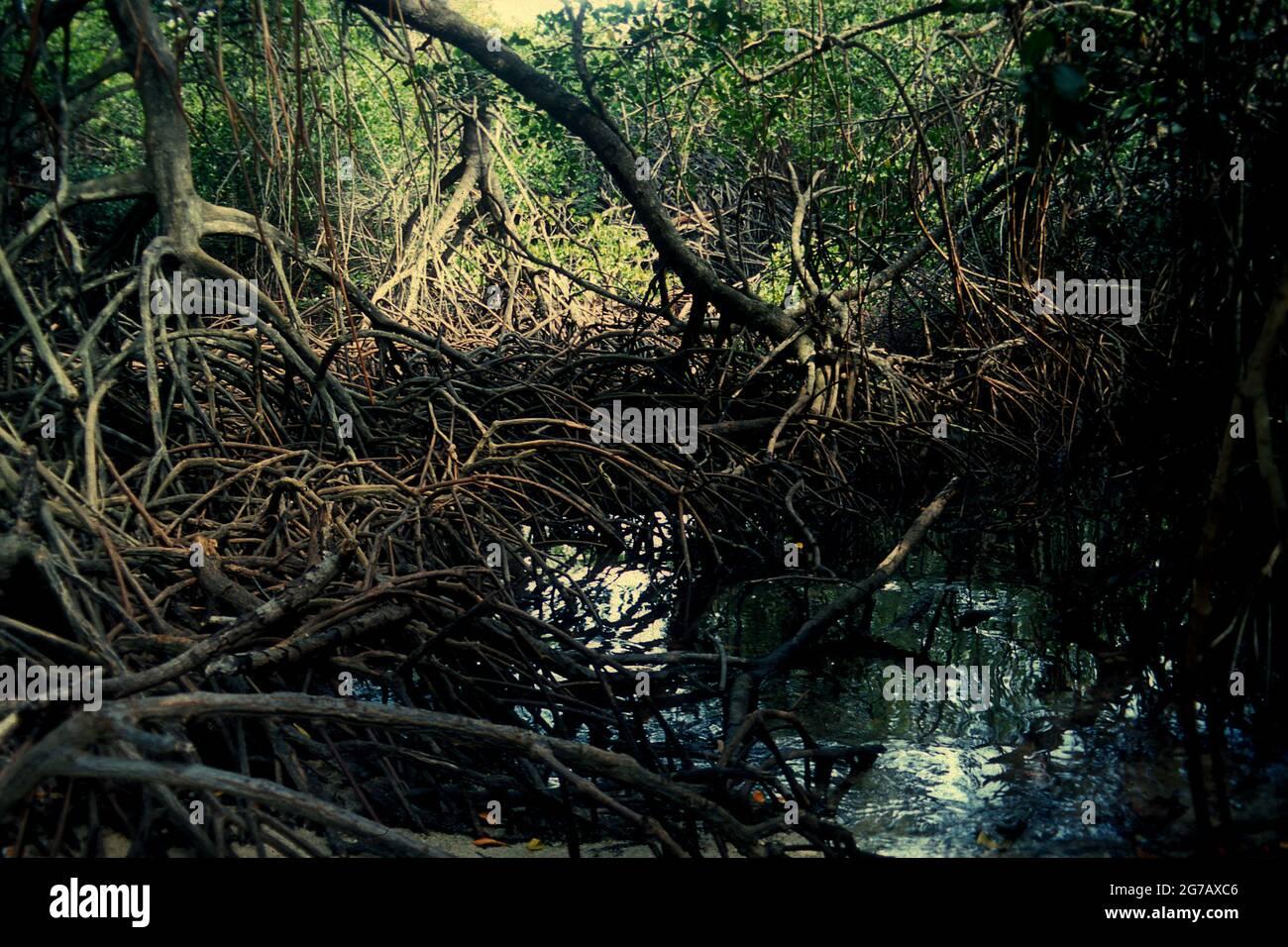Mangroves à la plage de Bama dans le parc national de Baluran, Java-est, Indonésie. Banque D'Images