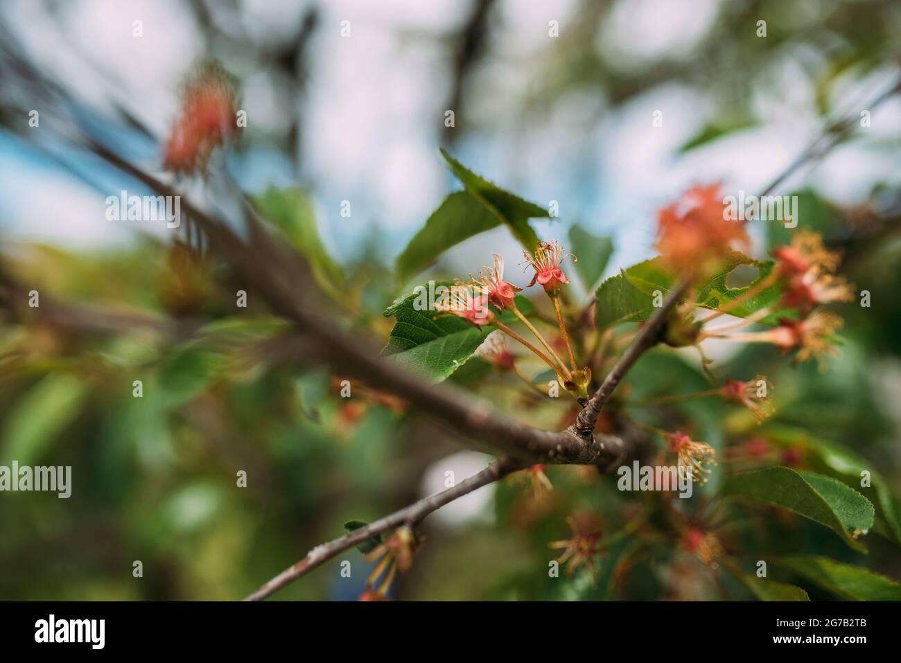 cerisiers en fleurs Banque D'Images