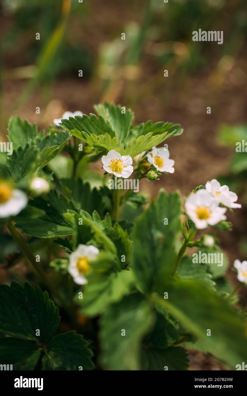 fleurs blanches de la plante de fraise Banque D'Images