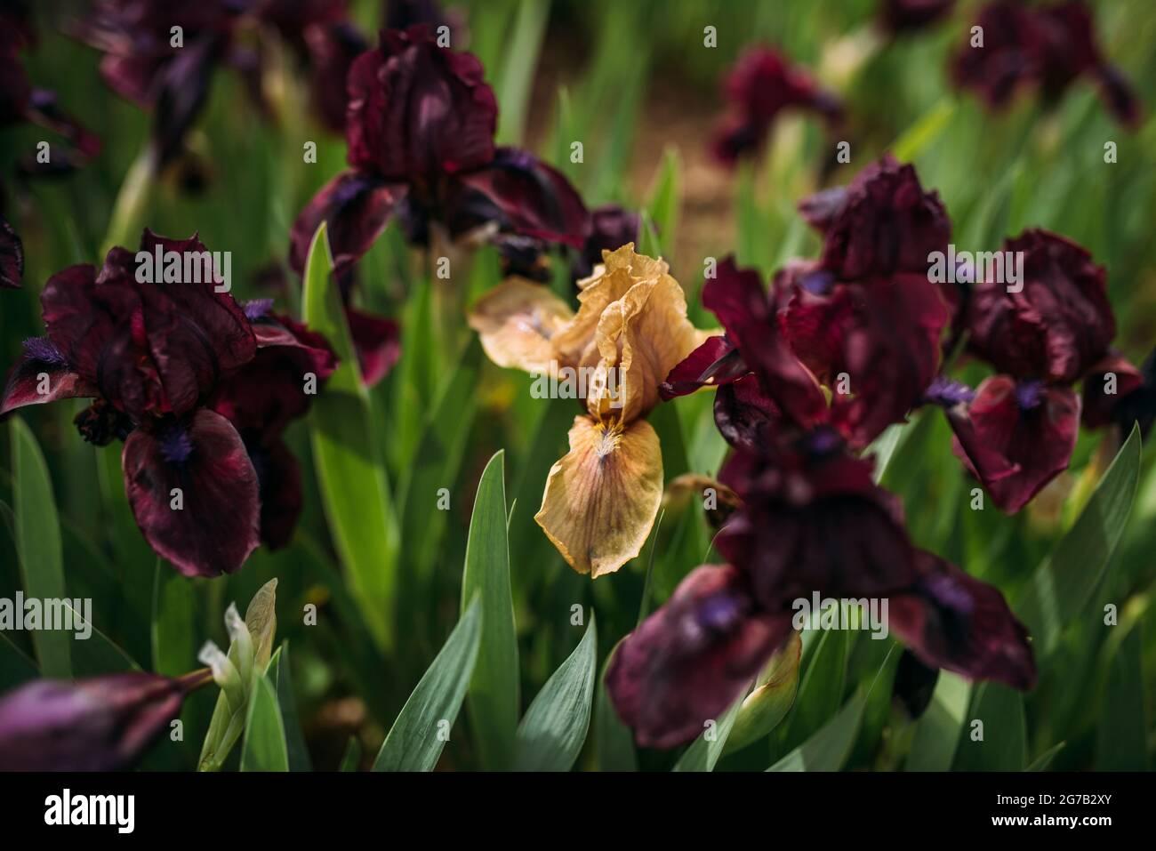 Les iris s'estompent entre les iris violet foncé en fleurs Banque D'Images