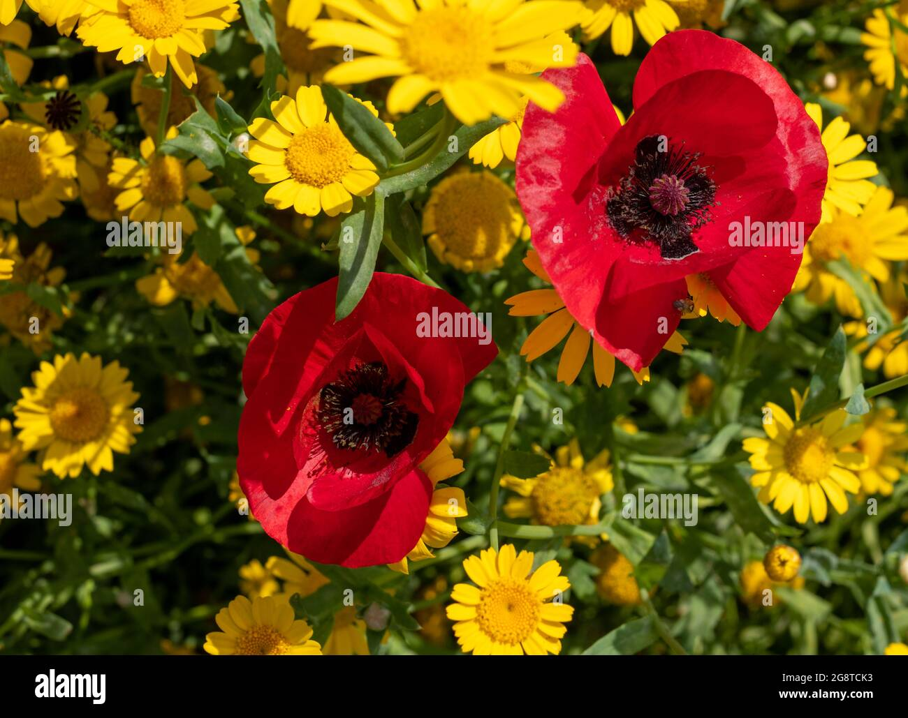 Variété de fleurs sauvages colorées, y compris le maïs jaune et les coquelicots rouges qui poussent dans l'herbe dans la zone de conservation de Pinn Meadows, Eastcote UK Banque D'Images