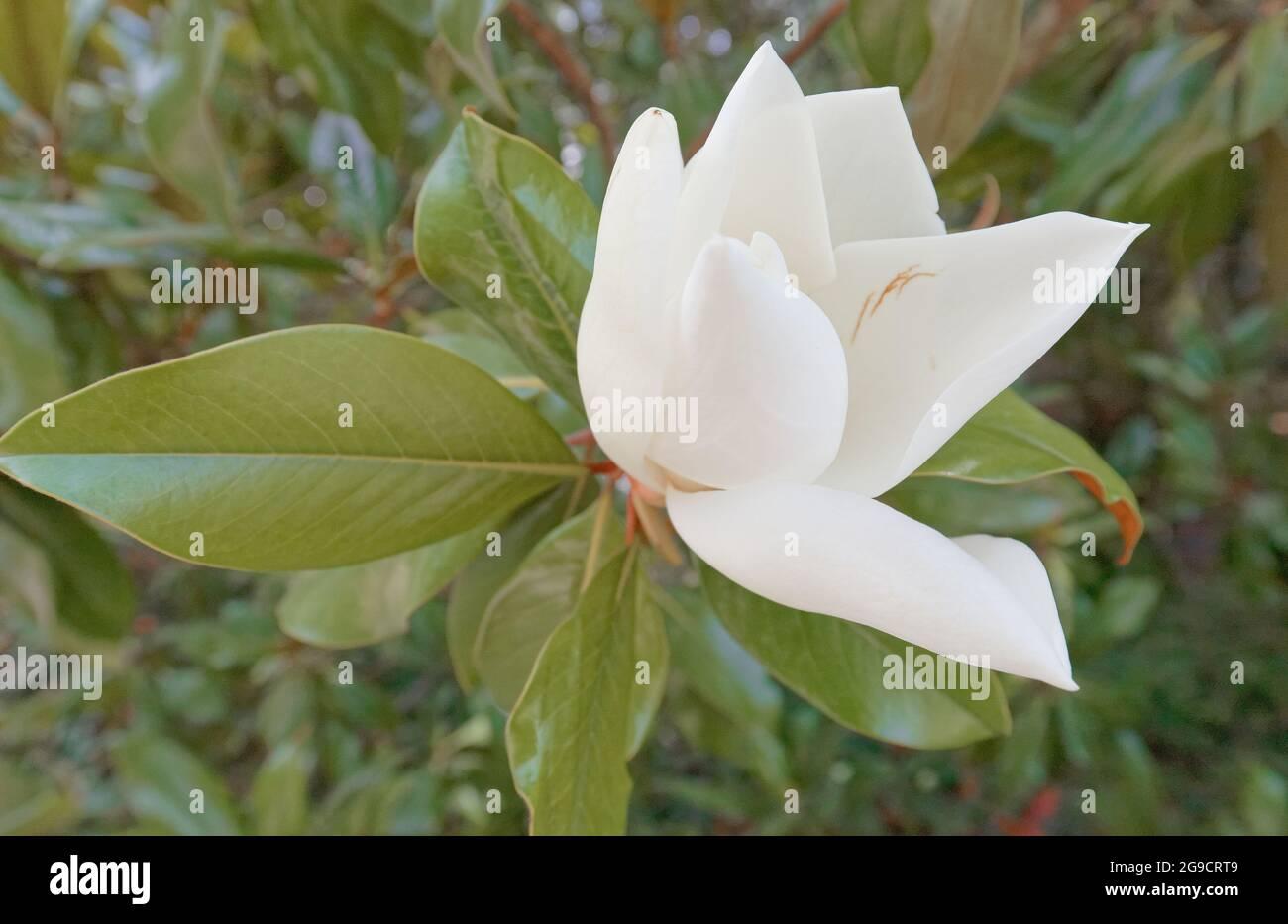 Le gros plan de la belle fleur de magnolia blanche Banque D'Images