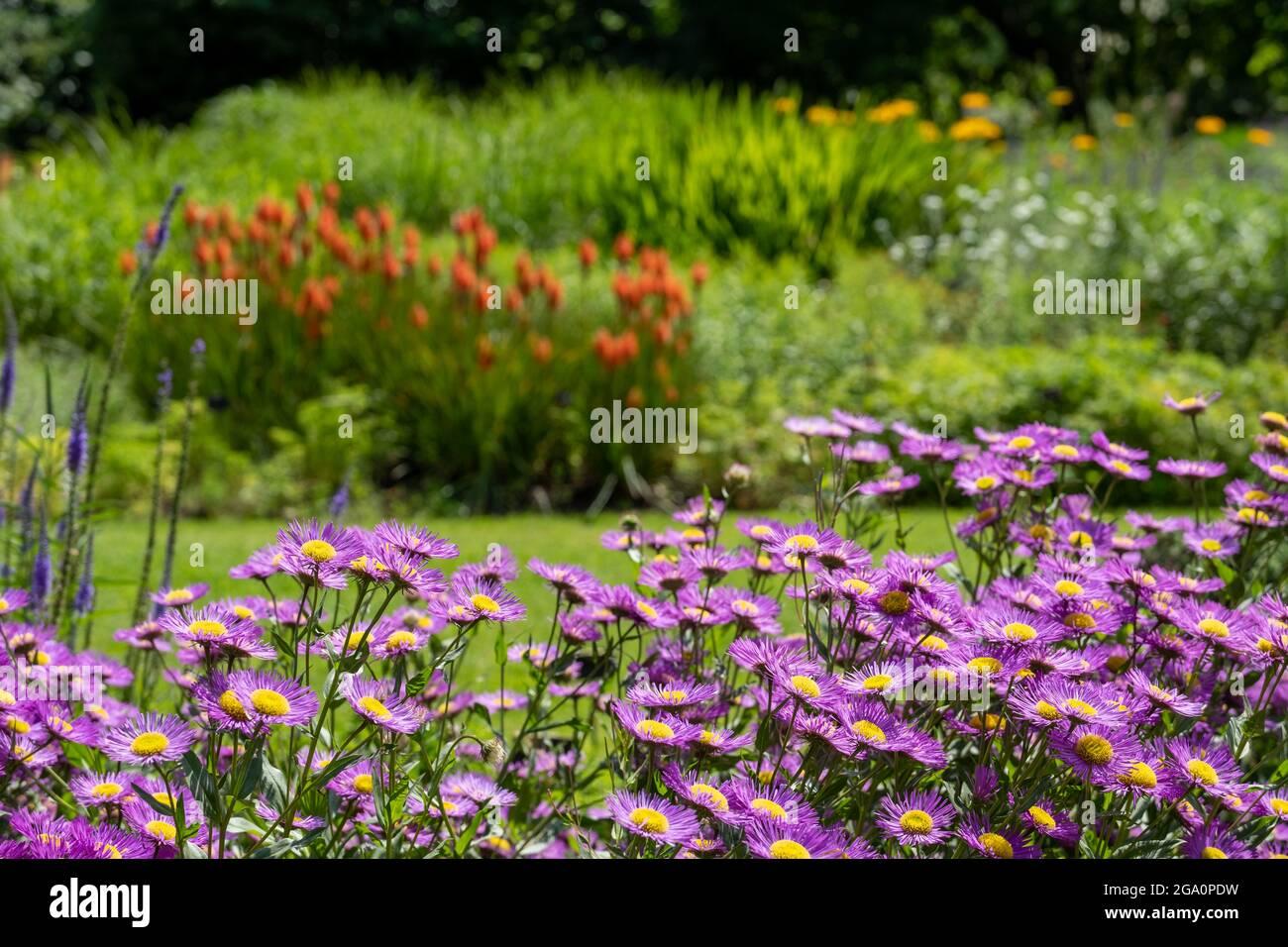 Bressingham Gardens près de DISS dans Norfolk. Jardin coloré planté dans le style naturaliste avec des dérive de couleur, des couches et des textures. Banque D'Images