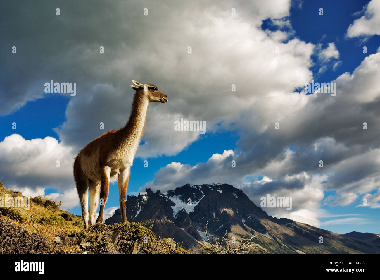 Guanaco Lama guanicoe Cobourg debout sur colline Parc National Torres del Paine Chili Amérique du Sud Photo Stock